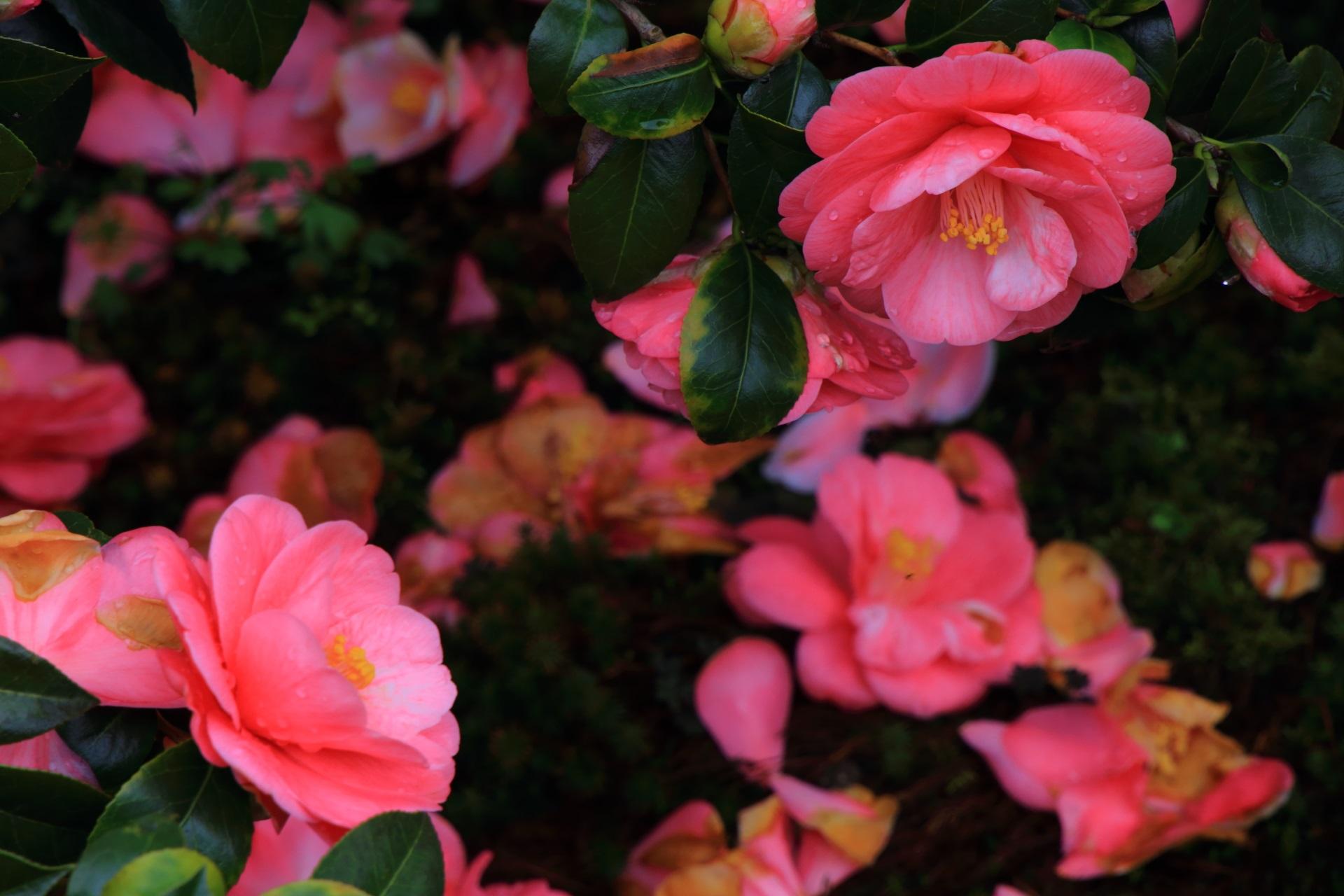高画質 写真 椿寺 地蔵院