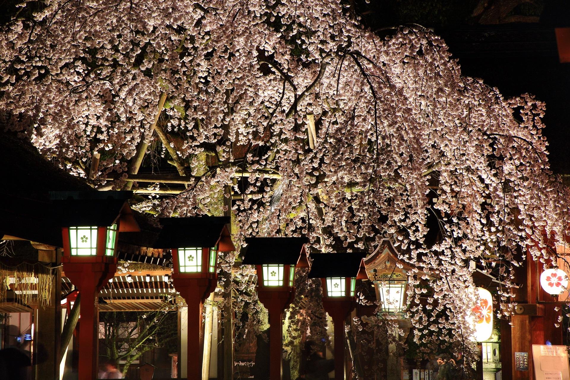 平野神社 夜桜 高画質 写真