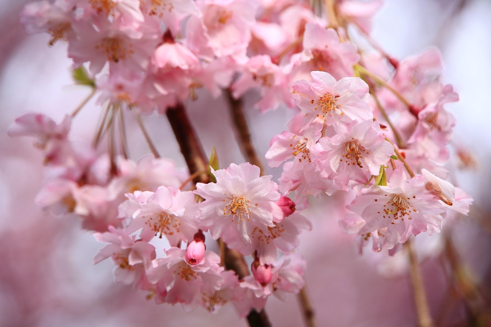 淡い優しい色合いのしだれ桜