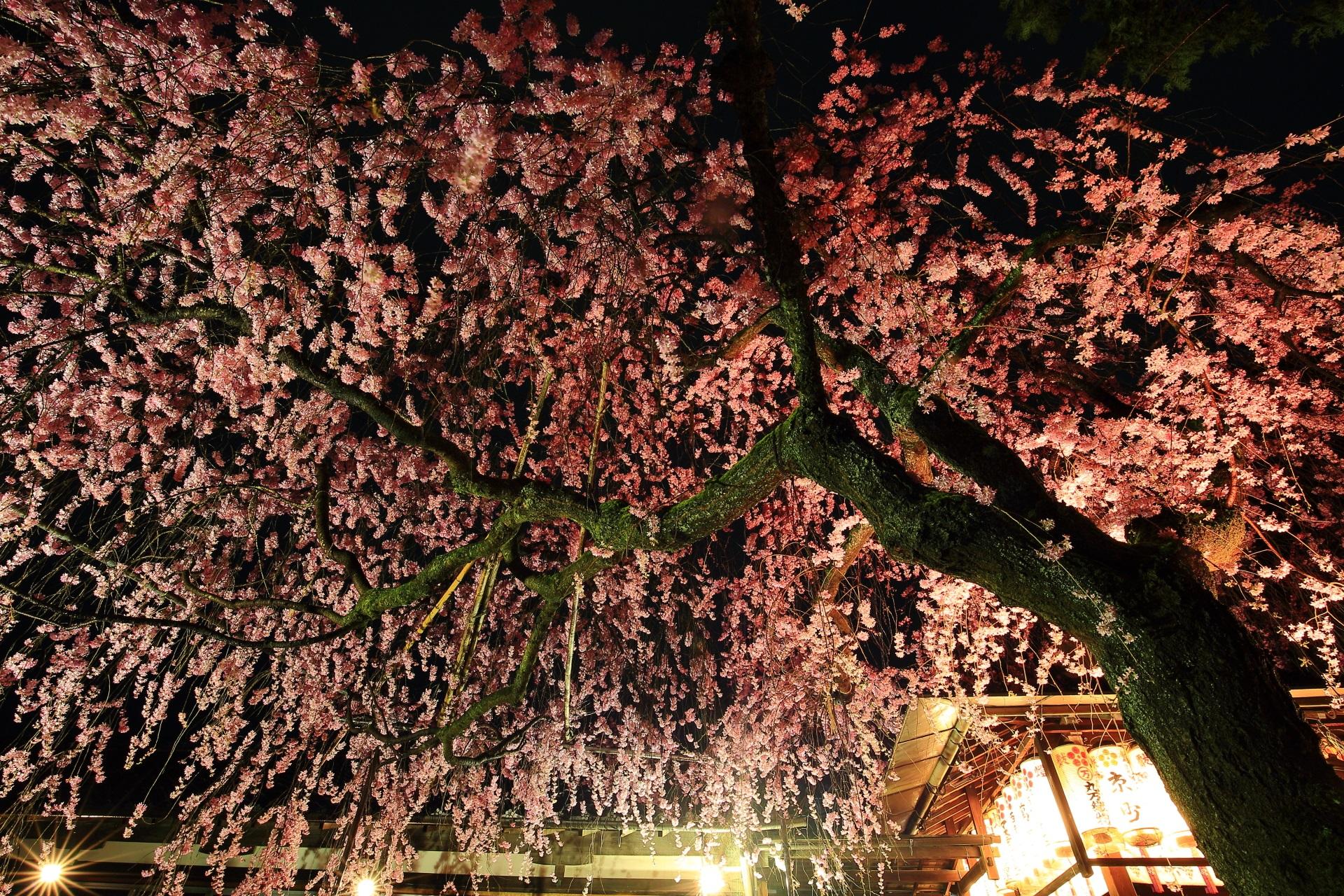 鮮やかなピンクの桜の天井