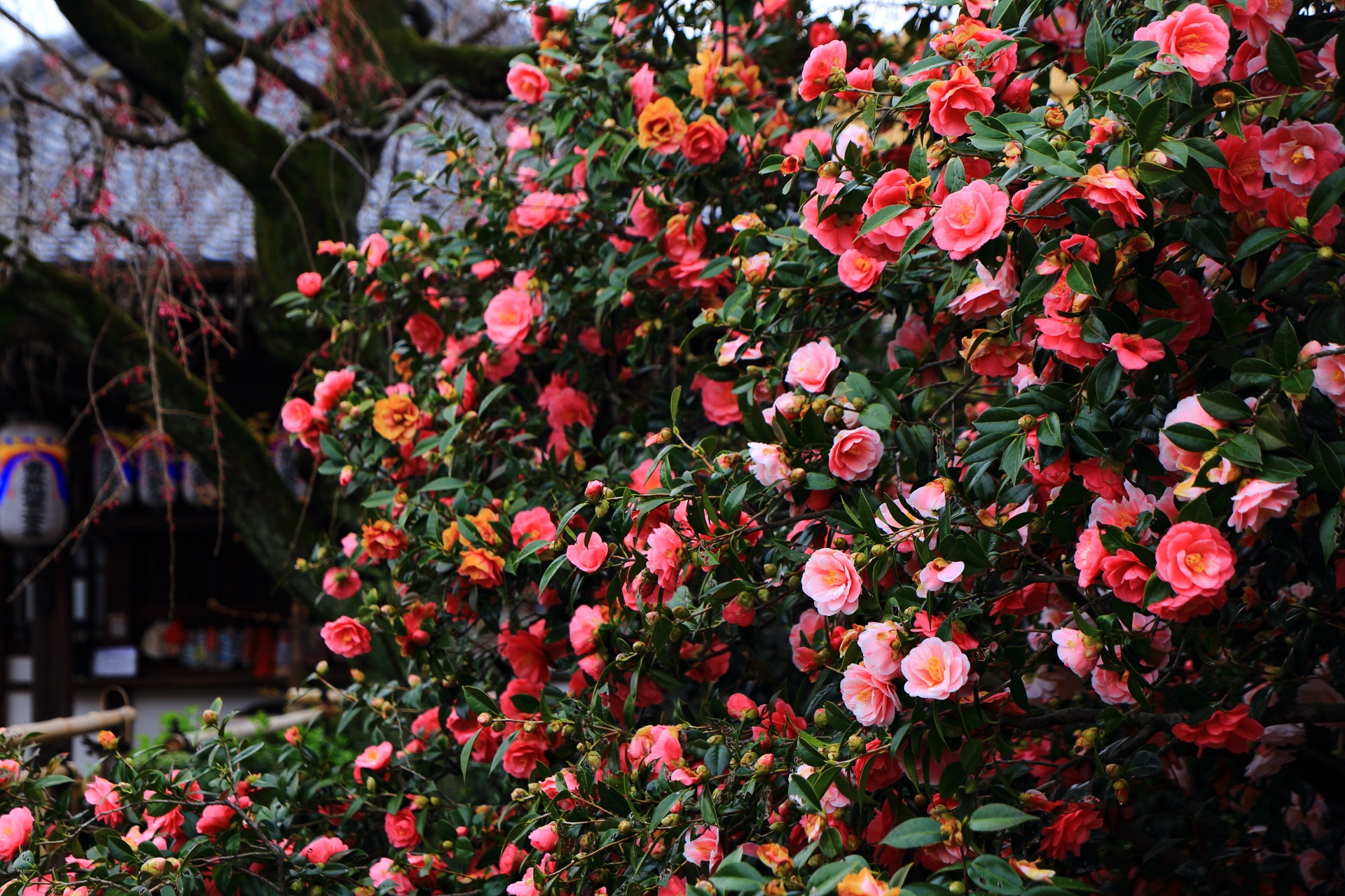 圧巻の椿の花につつまれる椿寺と呼ばれる地蔵院
