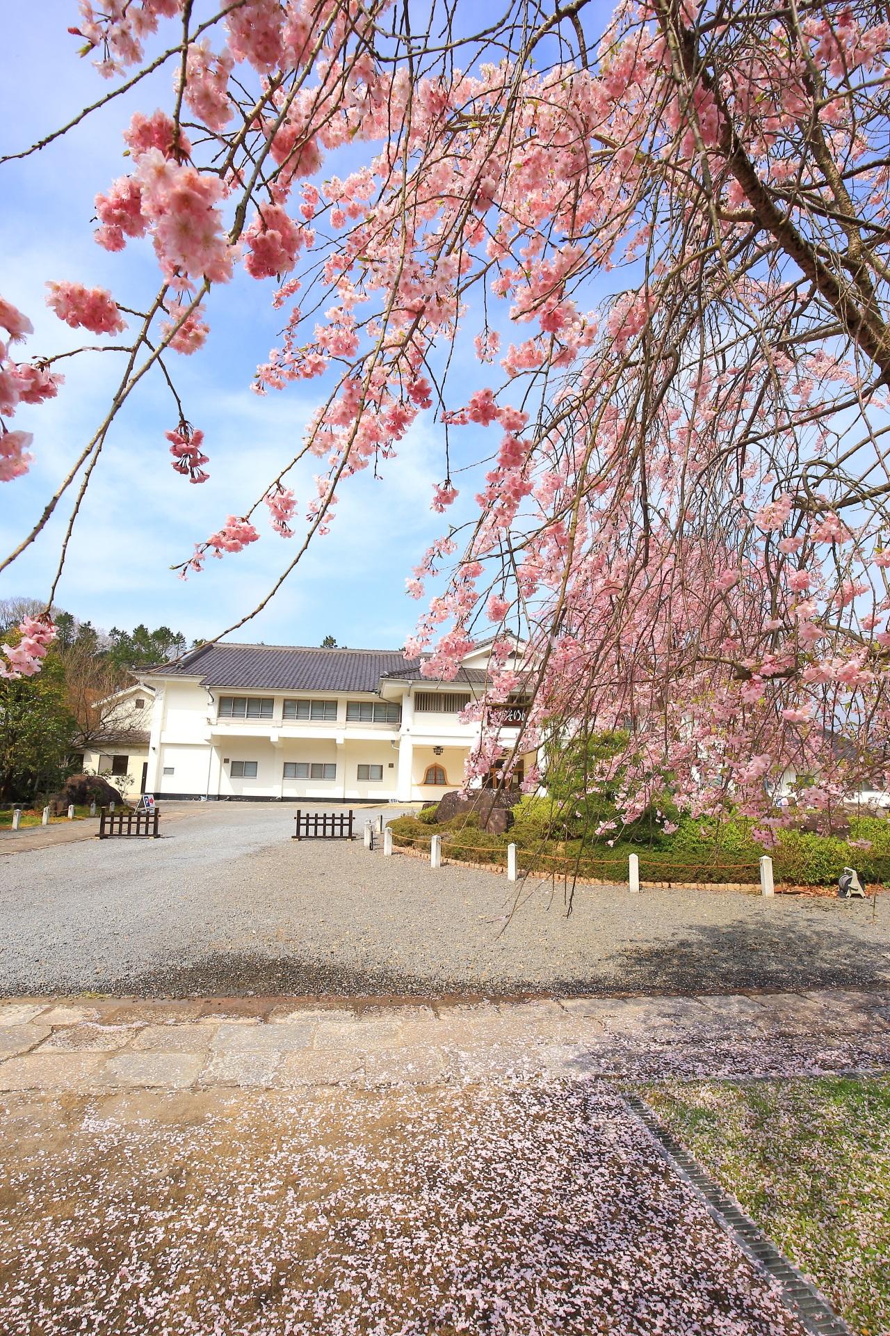 上も下も桜の妙満寺