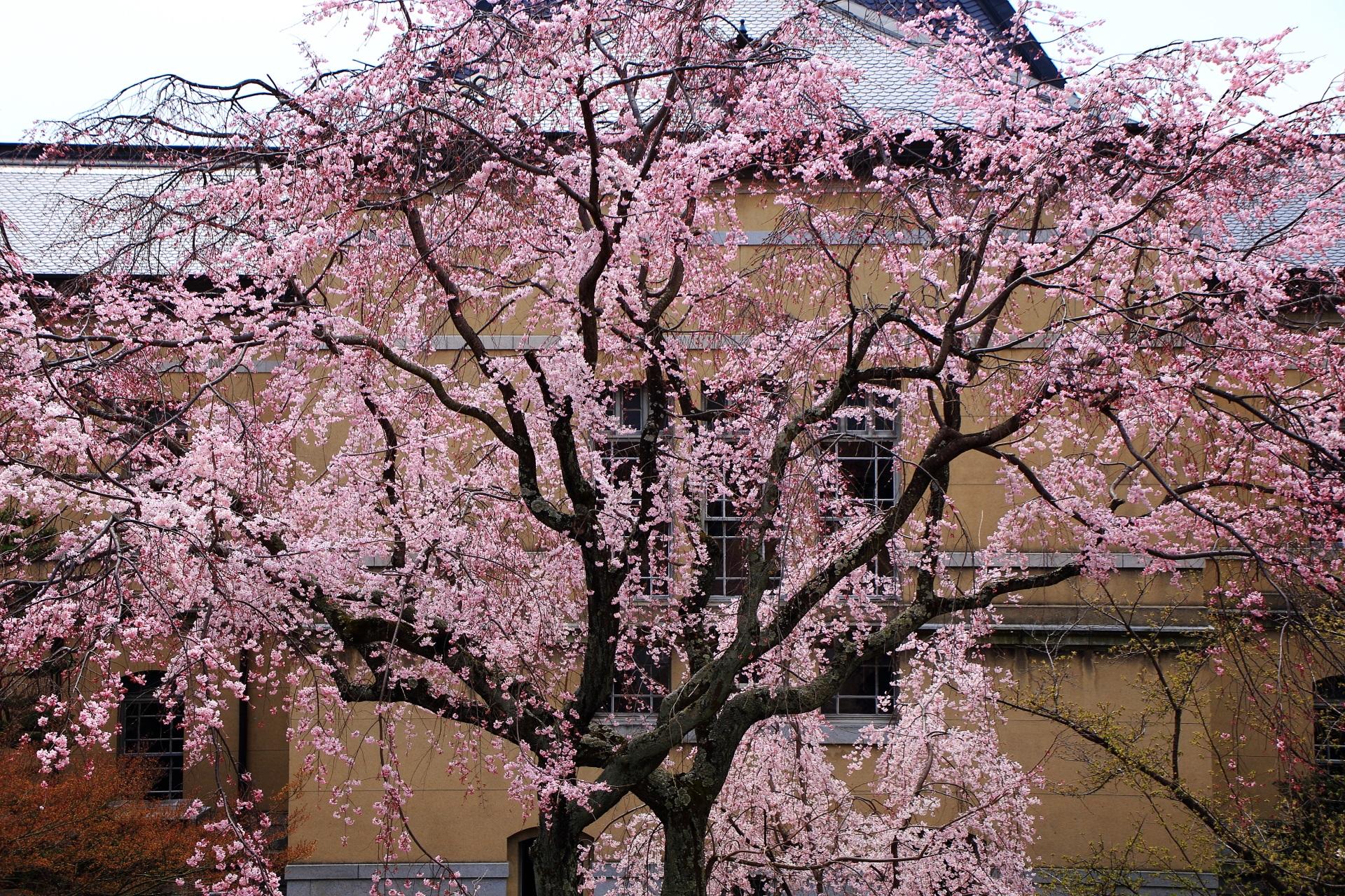 2階から眺めるとまた違った見え方がする中央のしだれ桜