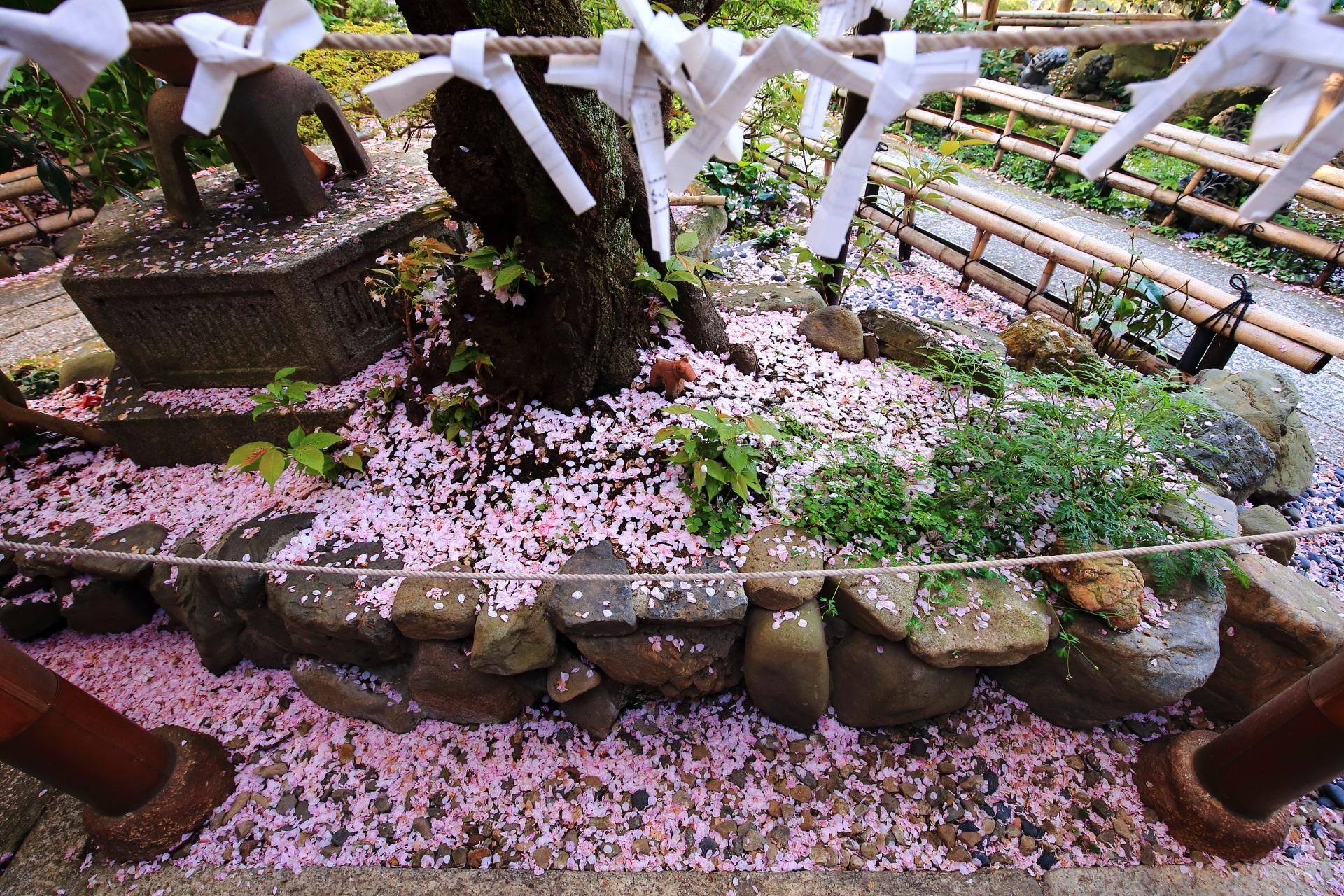 華やかで綺麗な散り桜とおみくじ