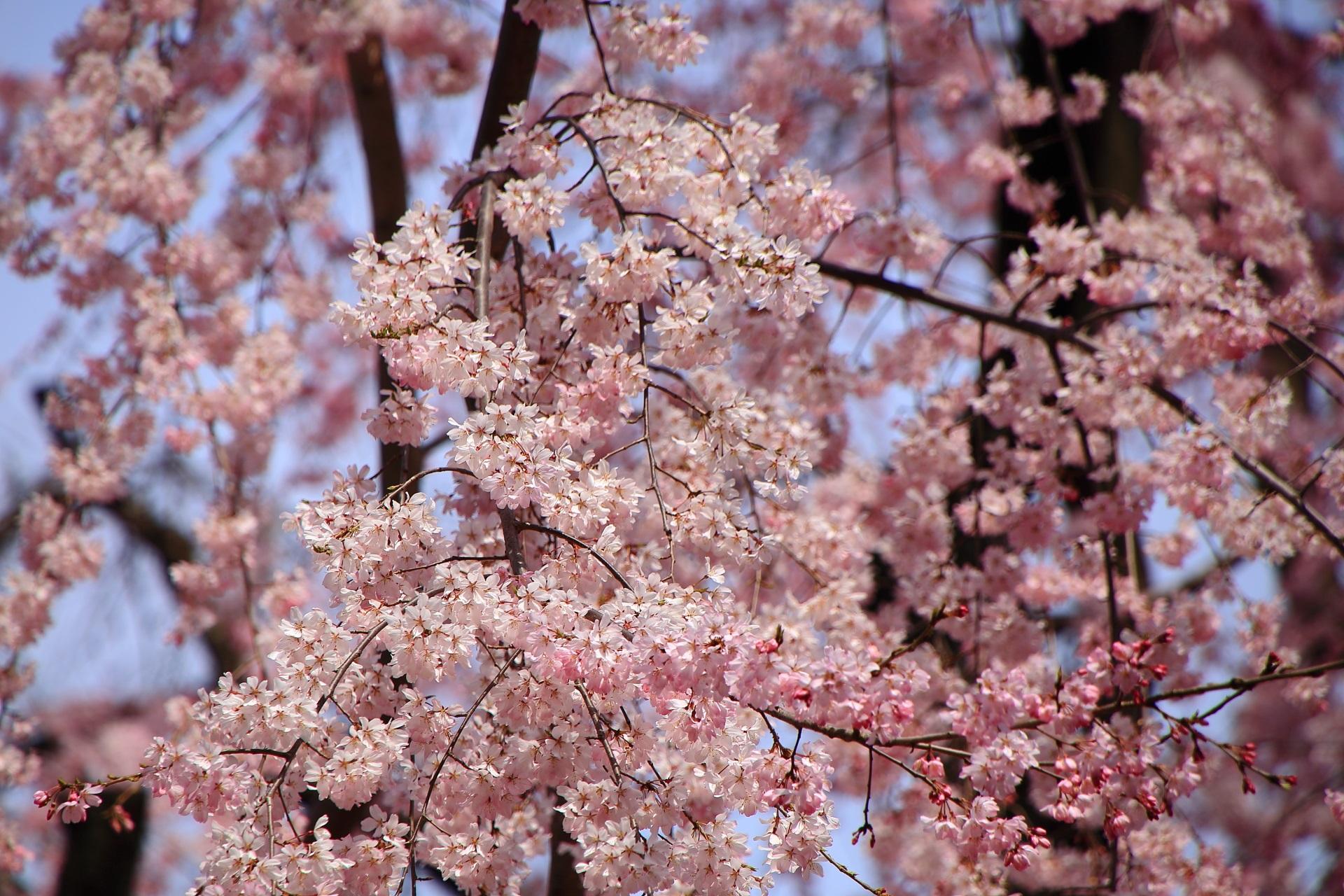 溢れる可愛い春色の桜