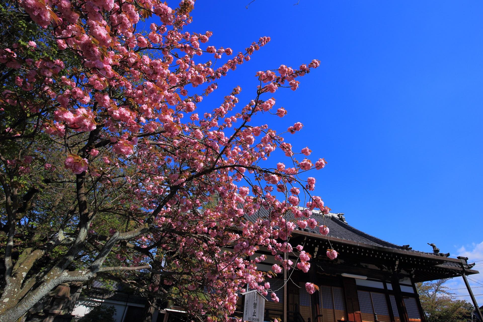 本満寺の本堂と八重桜