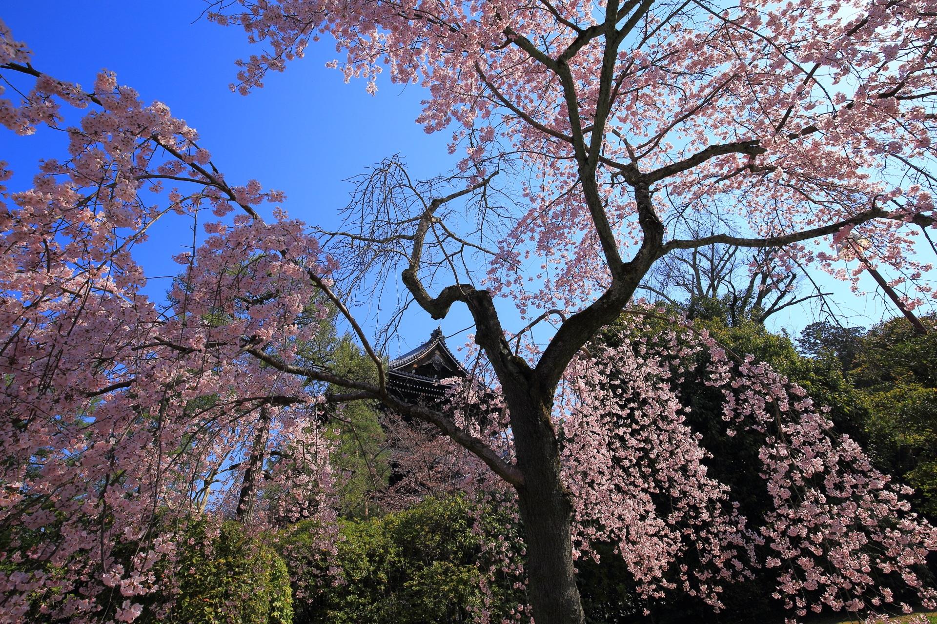青空と三門を美しい春色に染めるしだれ桜
