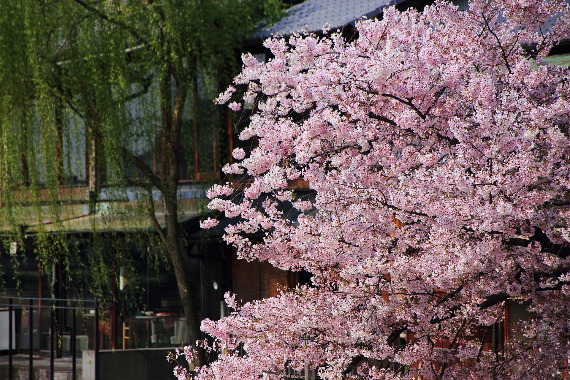 高画質 写真 桜 みそそぎ川