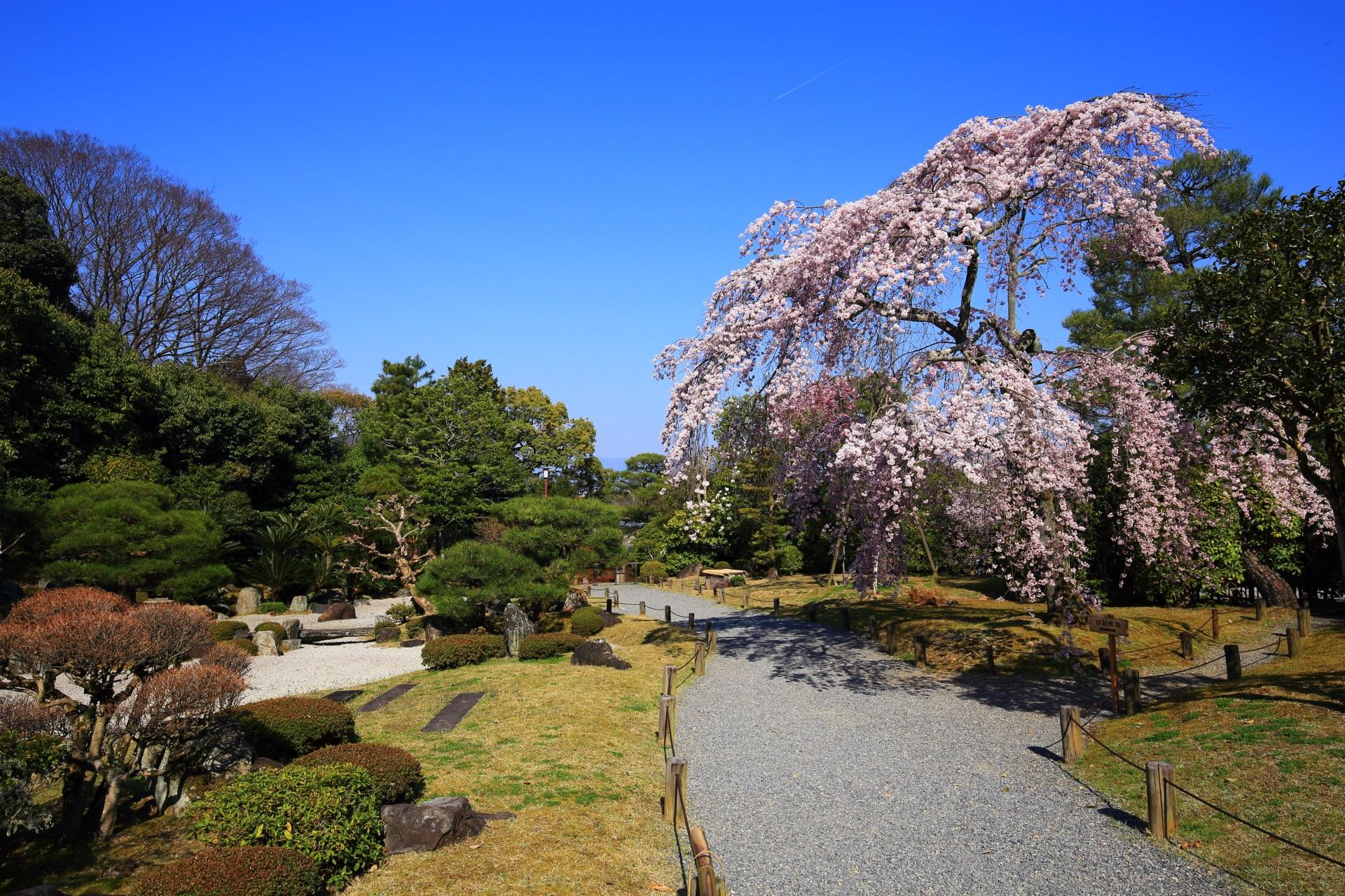 友禅苑の見事な枯山水庭園に佇むしだれ桜