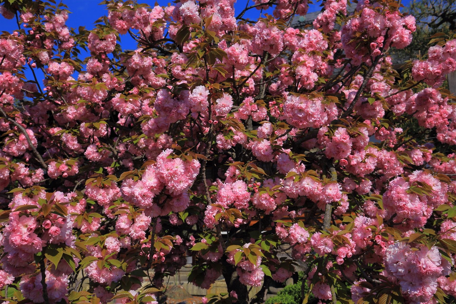 下を向くため日差しが強すぎると困る八重桜
