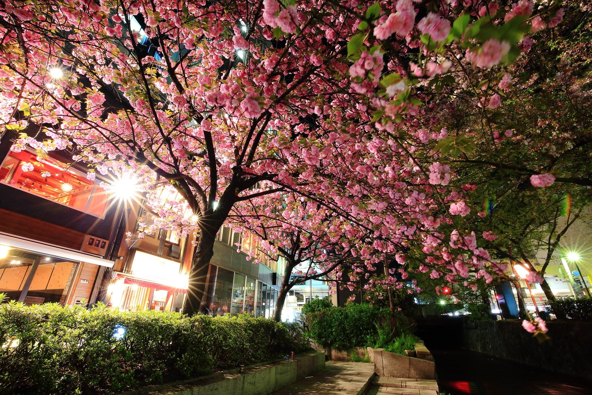 木屋町通の鮮やかな濃いピンクの花
