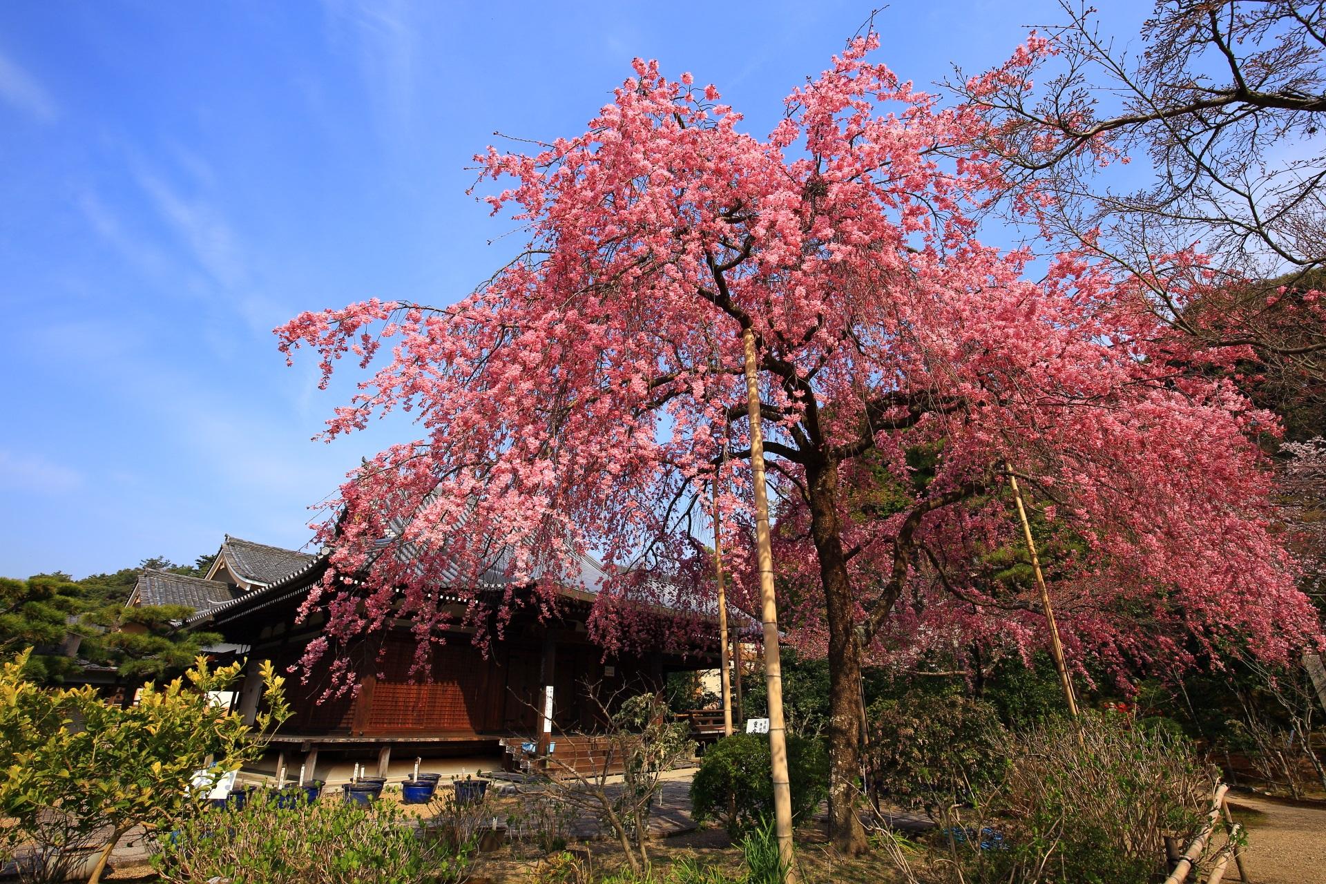 待賢門院桜と礼堂の絵になる春の情景