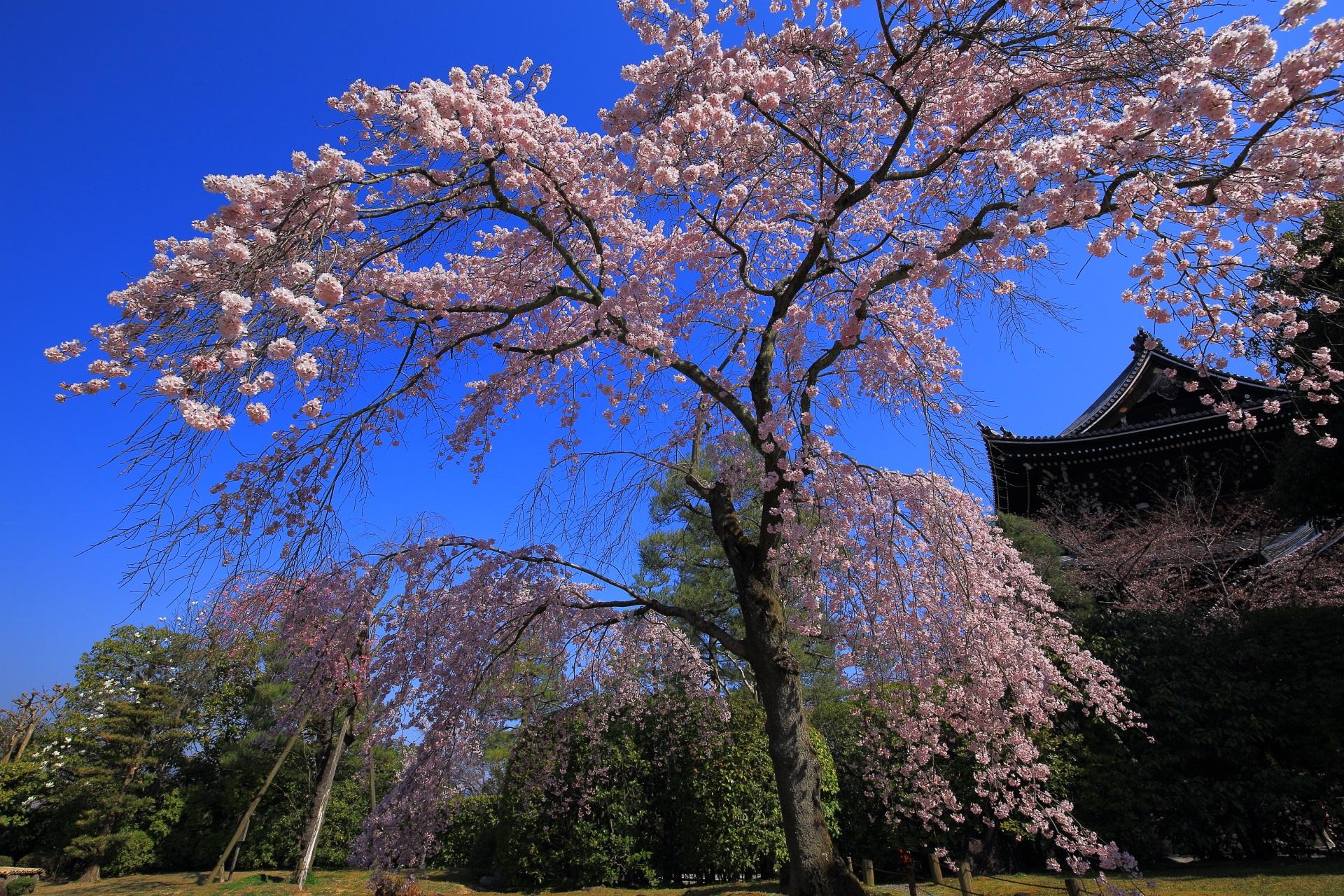絵になるしだれ桜と三門の春に彩られた風景