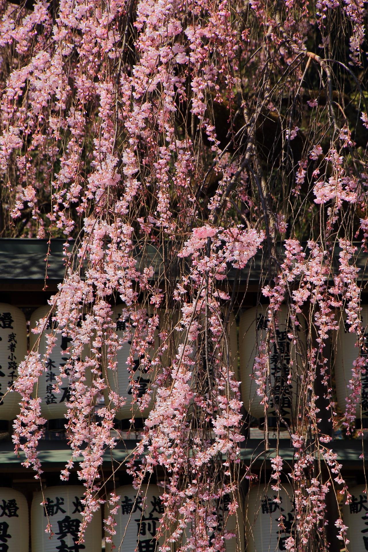 大石神社の素晴らしい桜と青空と春の情景