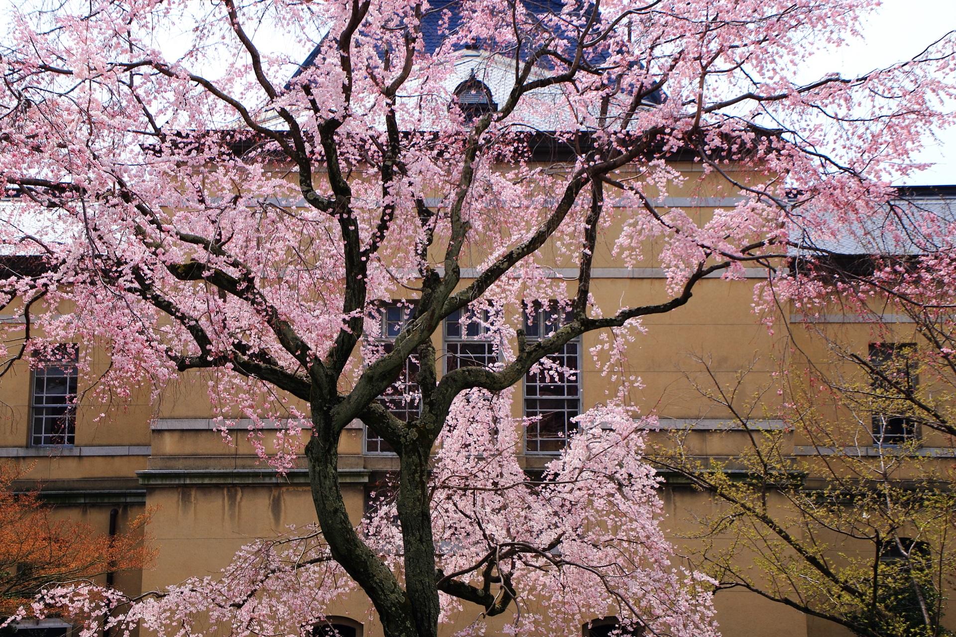 当然ながら無料で見られる京都府庁旧本館の桜
