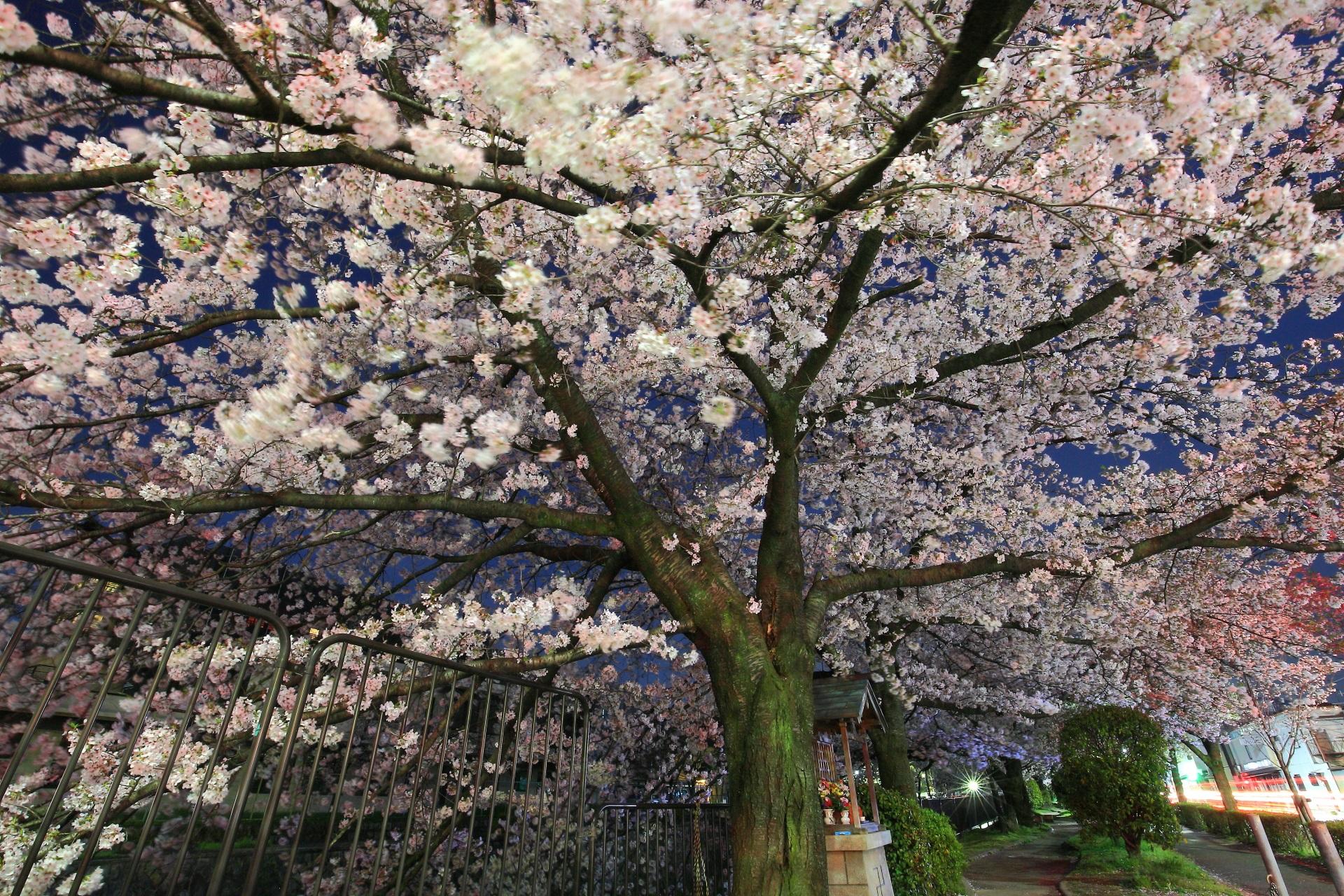 冷泉通の夜空を覆う見事な夜桜