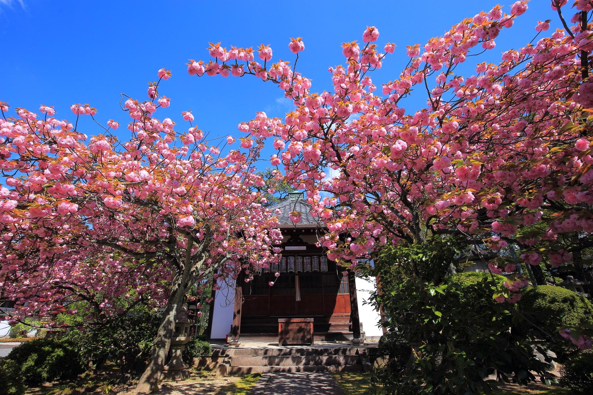 最高の青空の下で豪快に咲き誇る桜
