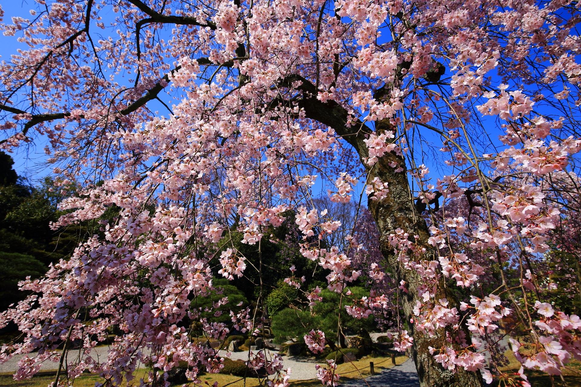 青空の下で煌びやかに輝くピンクの桜