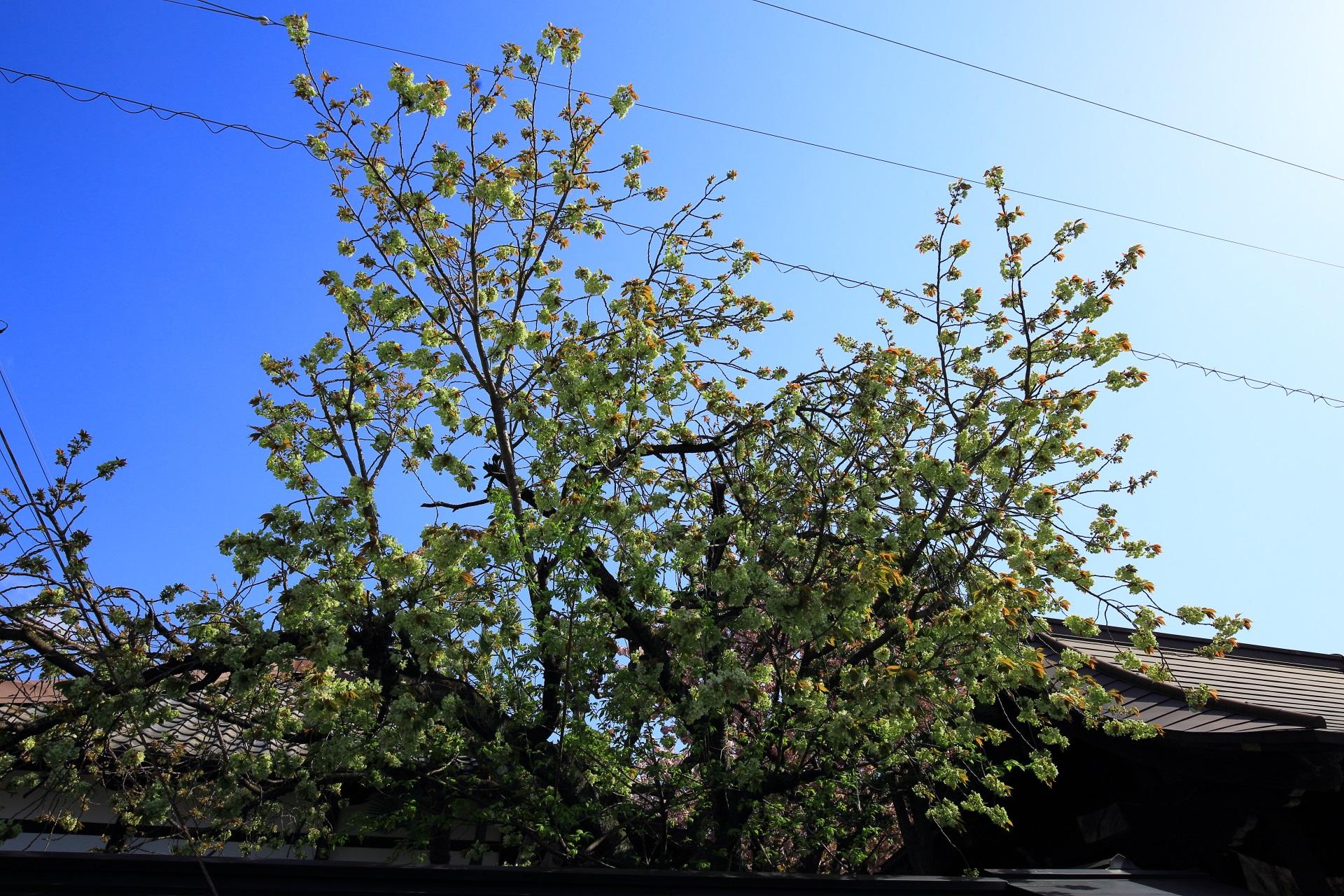 緑の桜の御衣黄桜(ぎょいこうさくら)