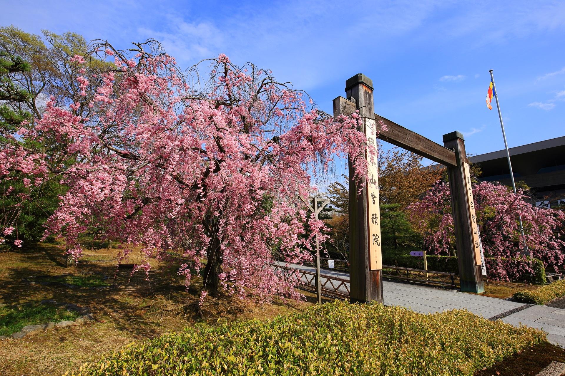 高画質 写真 智積院 桜