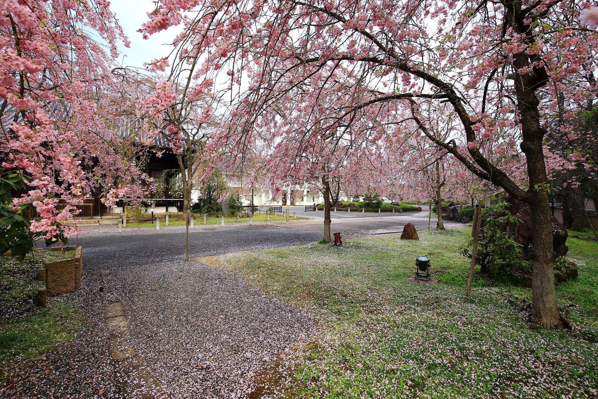 大書院前に広がる桜園