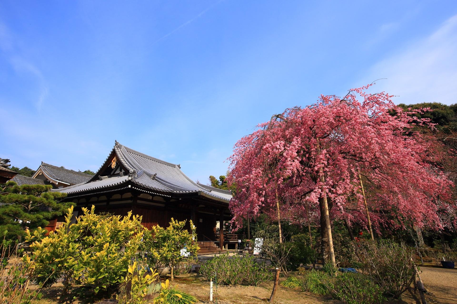 青空の下での形も美しい待賢門院桜