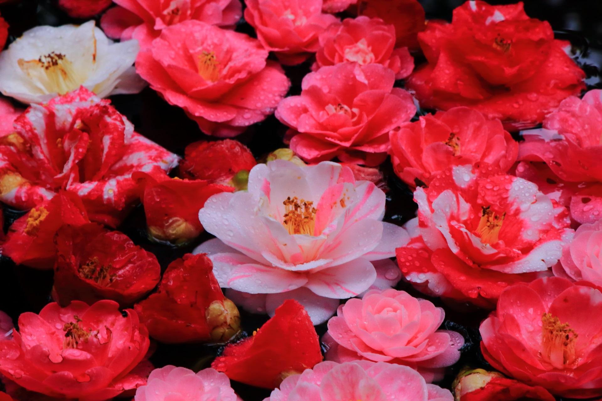侘び錆びを兼ね備えた鮮やかな椿の彩り
