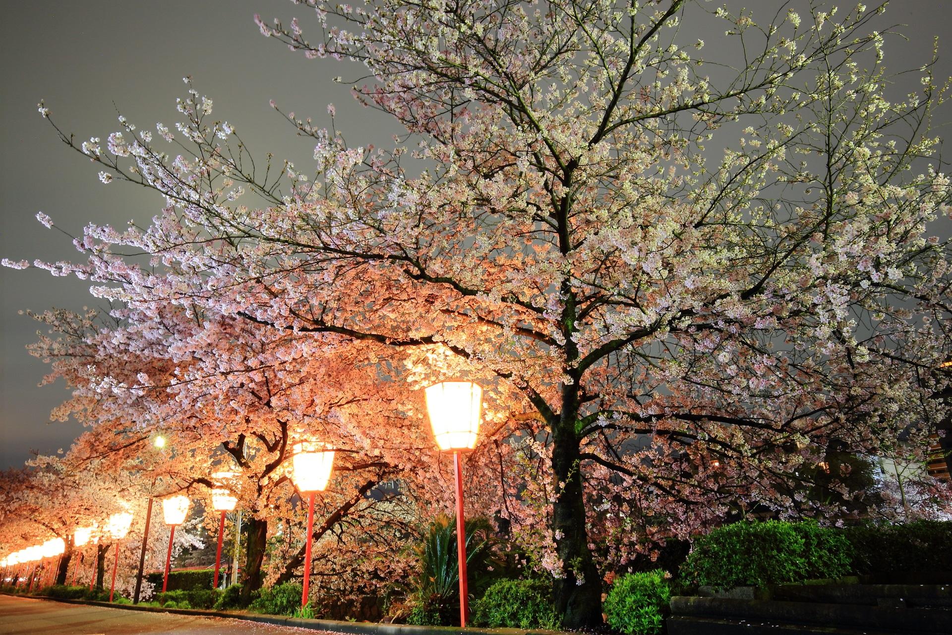 雪洞(ぼんぼり)に照らされる幻想的で華やかな雰囲気の夜桜