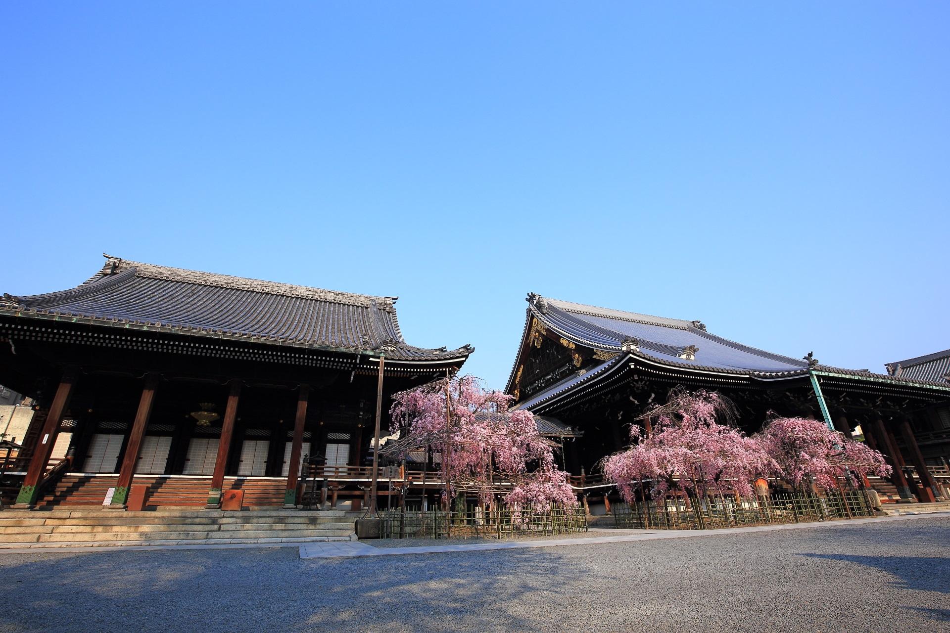 仏光寺のしだれ桜