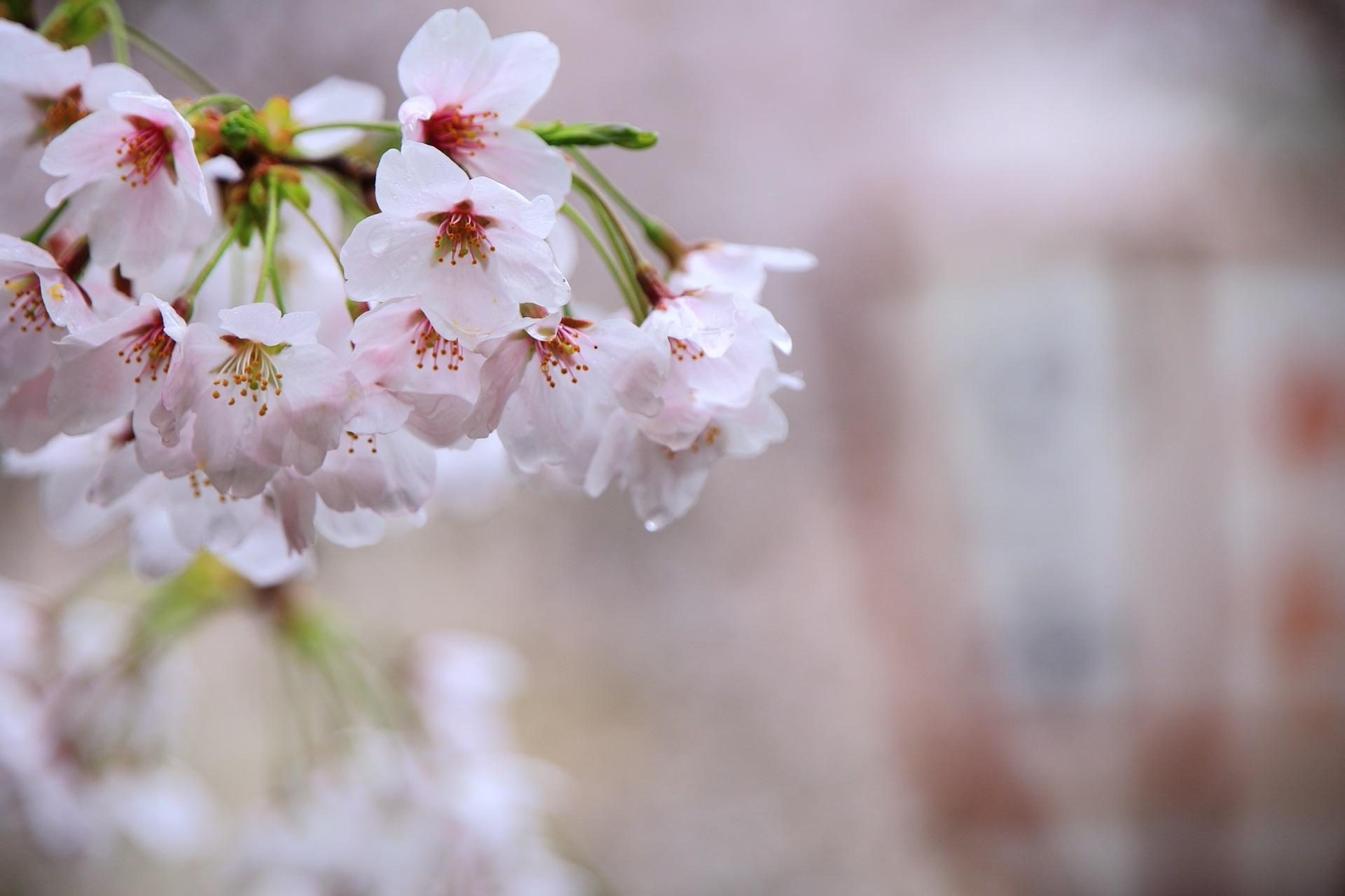 雨に濡れてしっとりとした桜