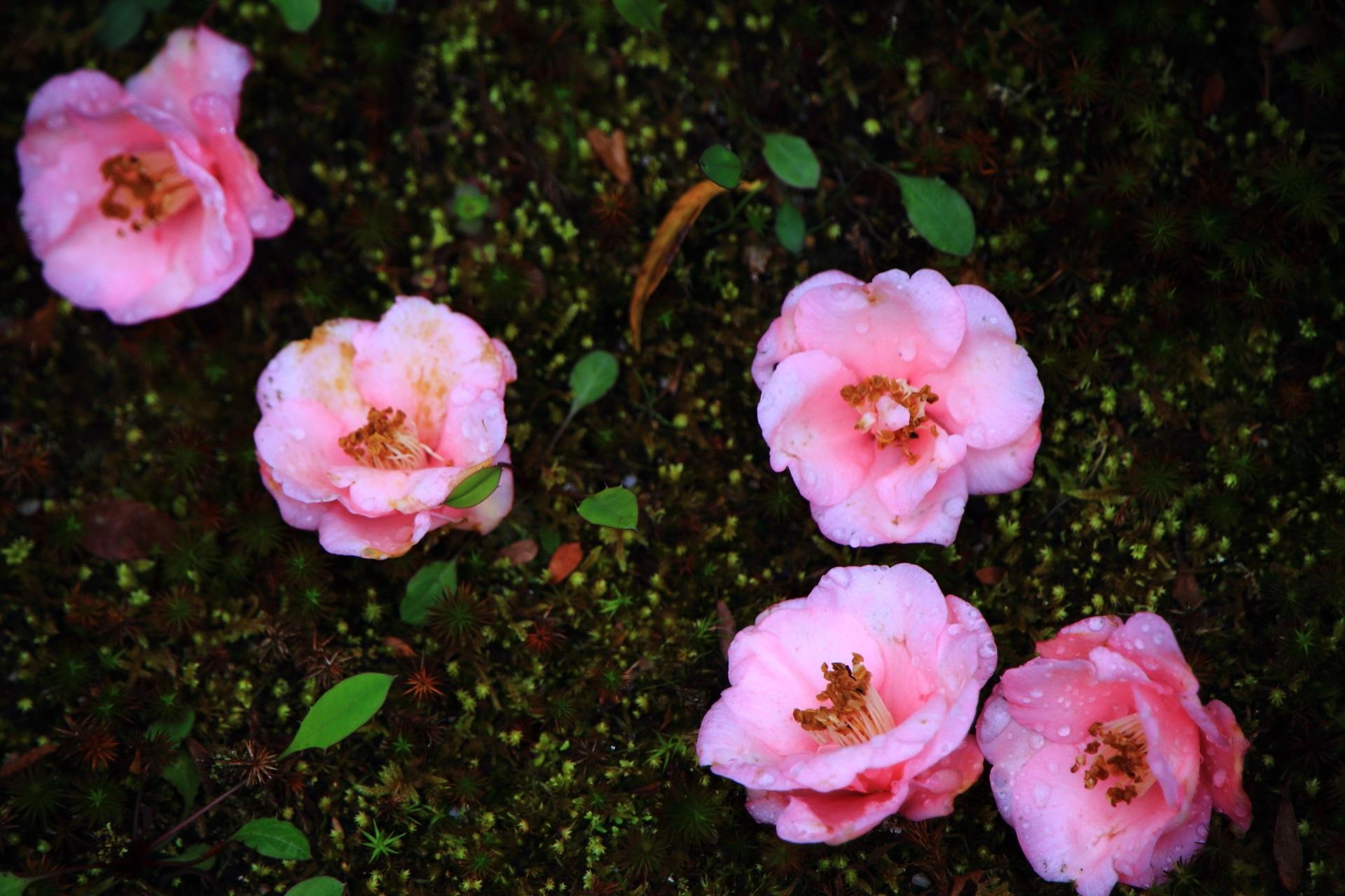 深い緑の苔を華やかな春色に彩る散椿