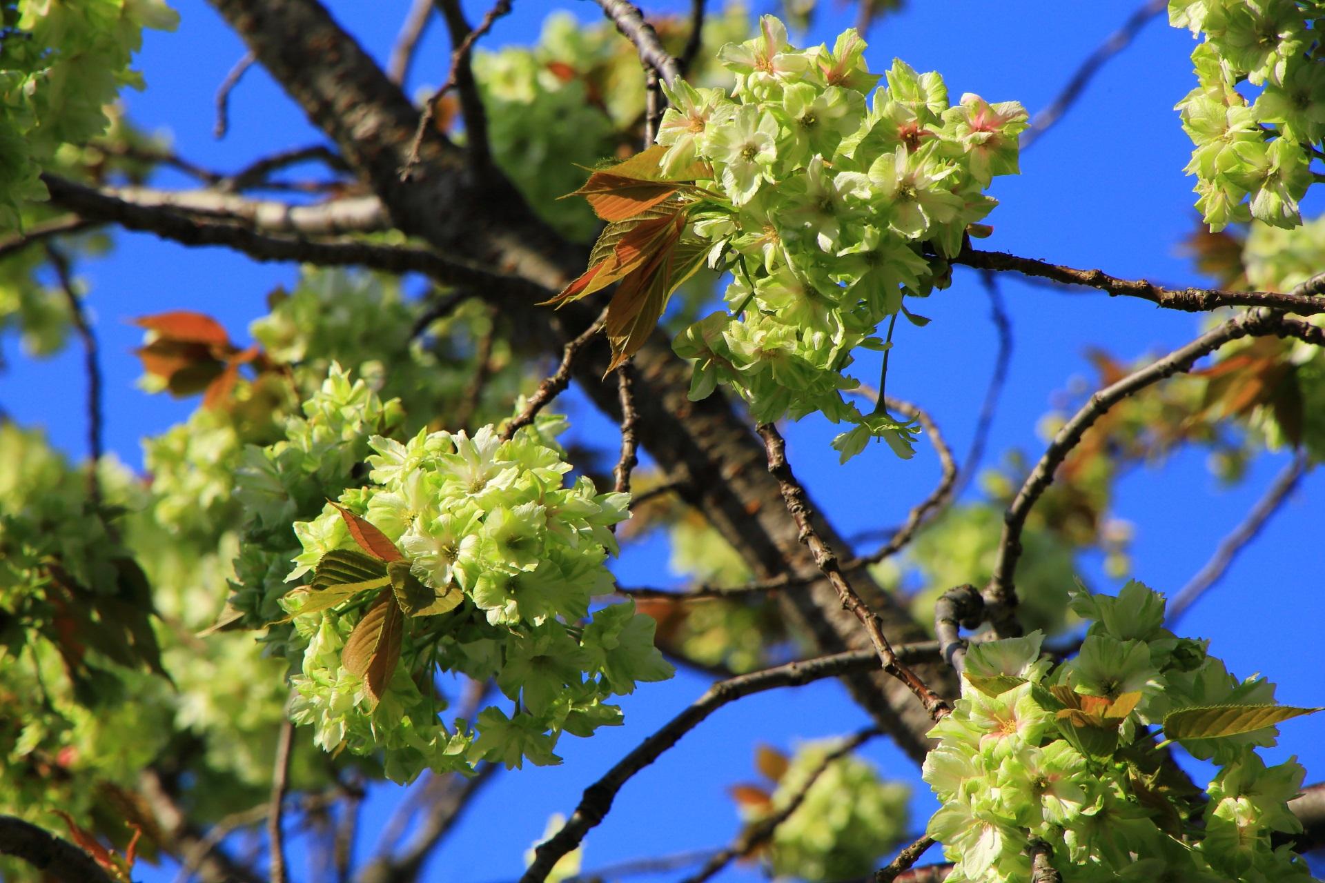 華やかな緑色の桜