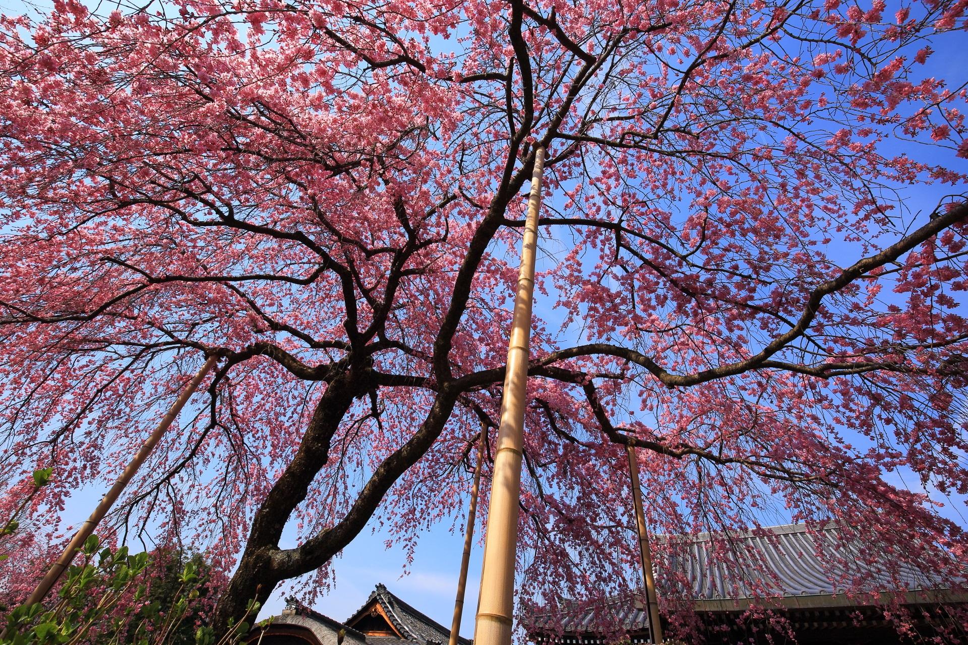 青空を鮮やかなピンクに彩る下から見上げた待賢門院桜