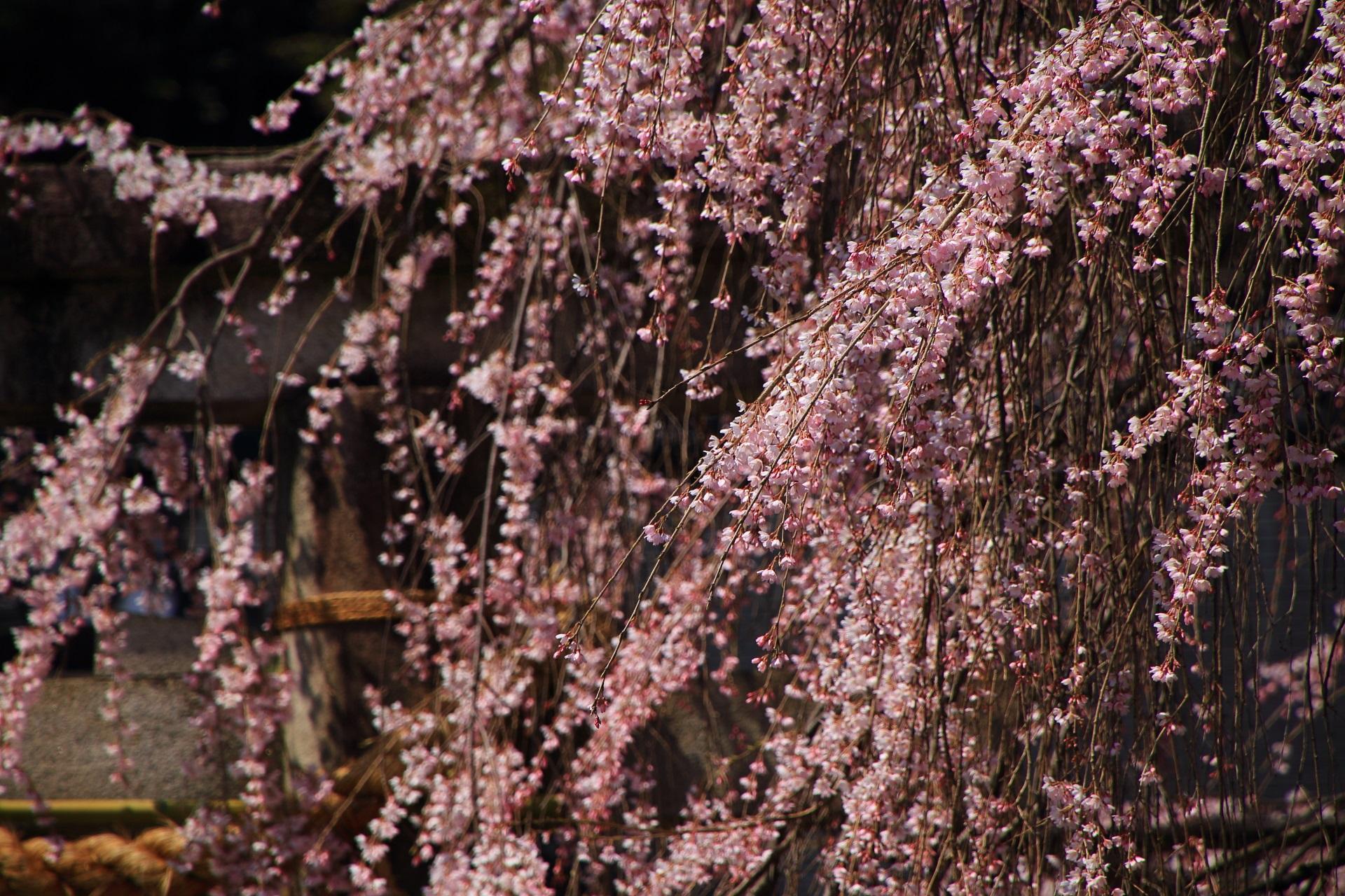 一つ一つの花びらは可憐で繊細な桜