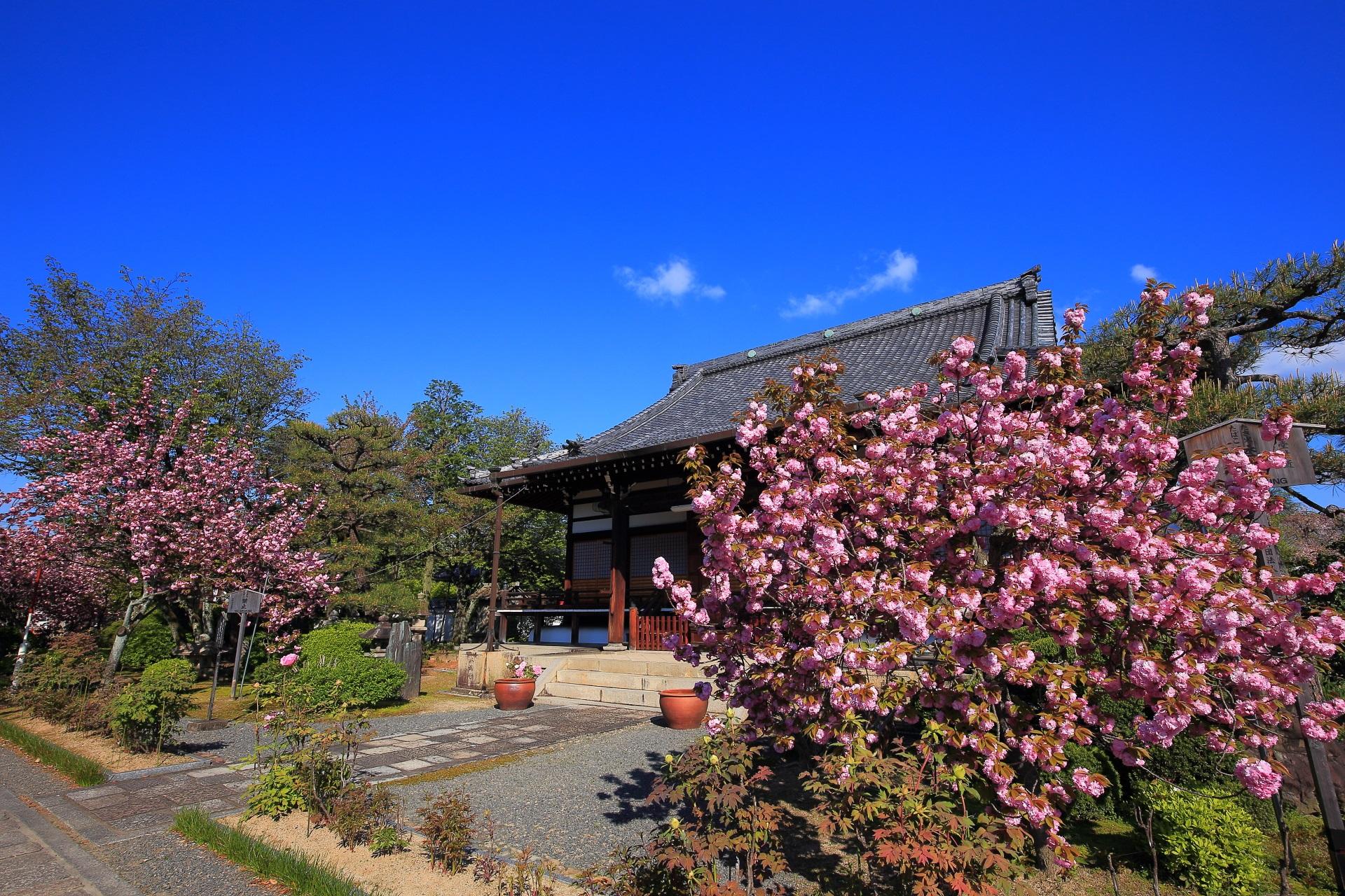 見事な青空と満開の八重桜