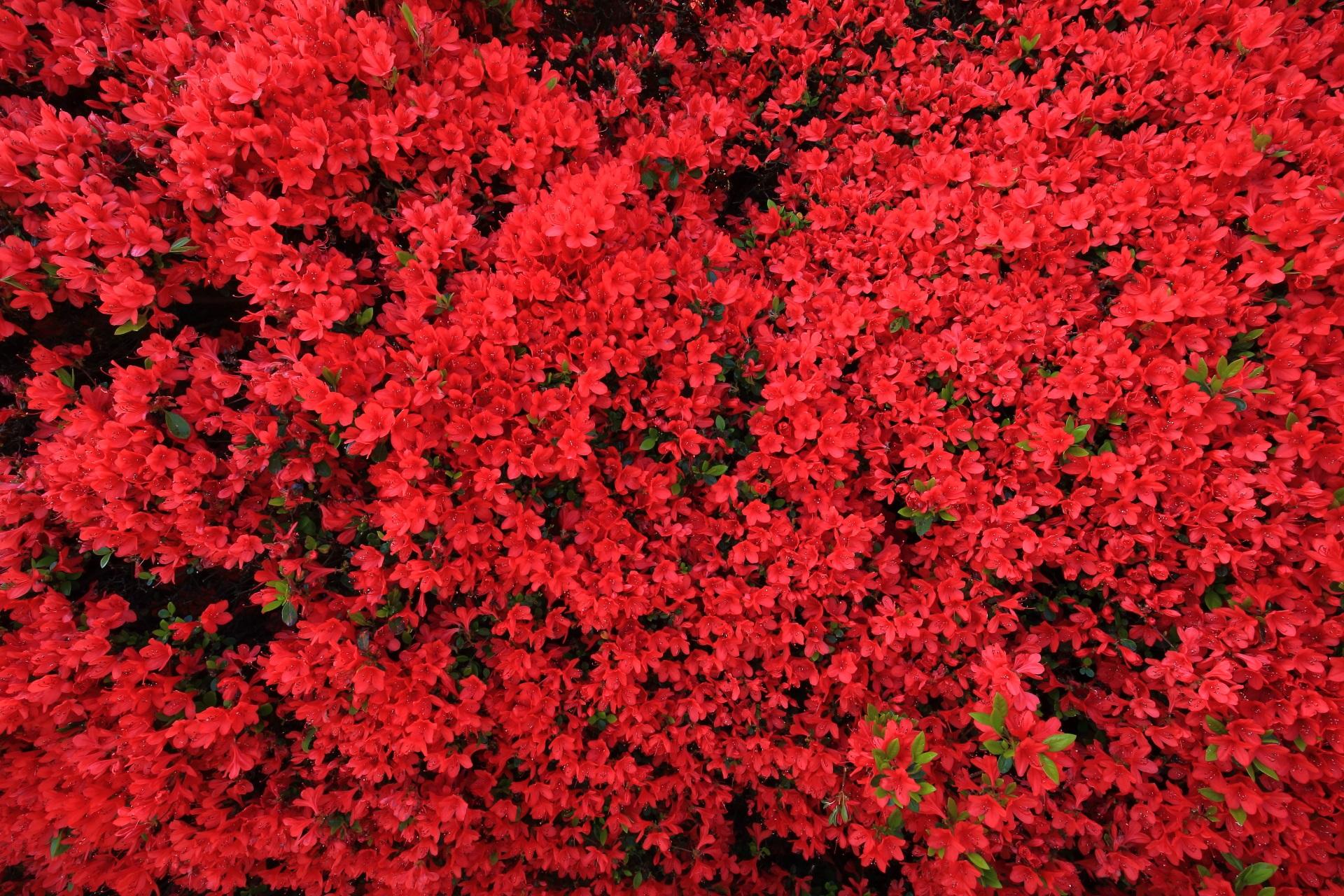 咲き乱れる鮮やかで妖艶な真っ赤な花