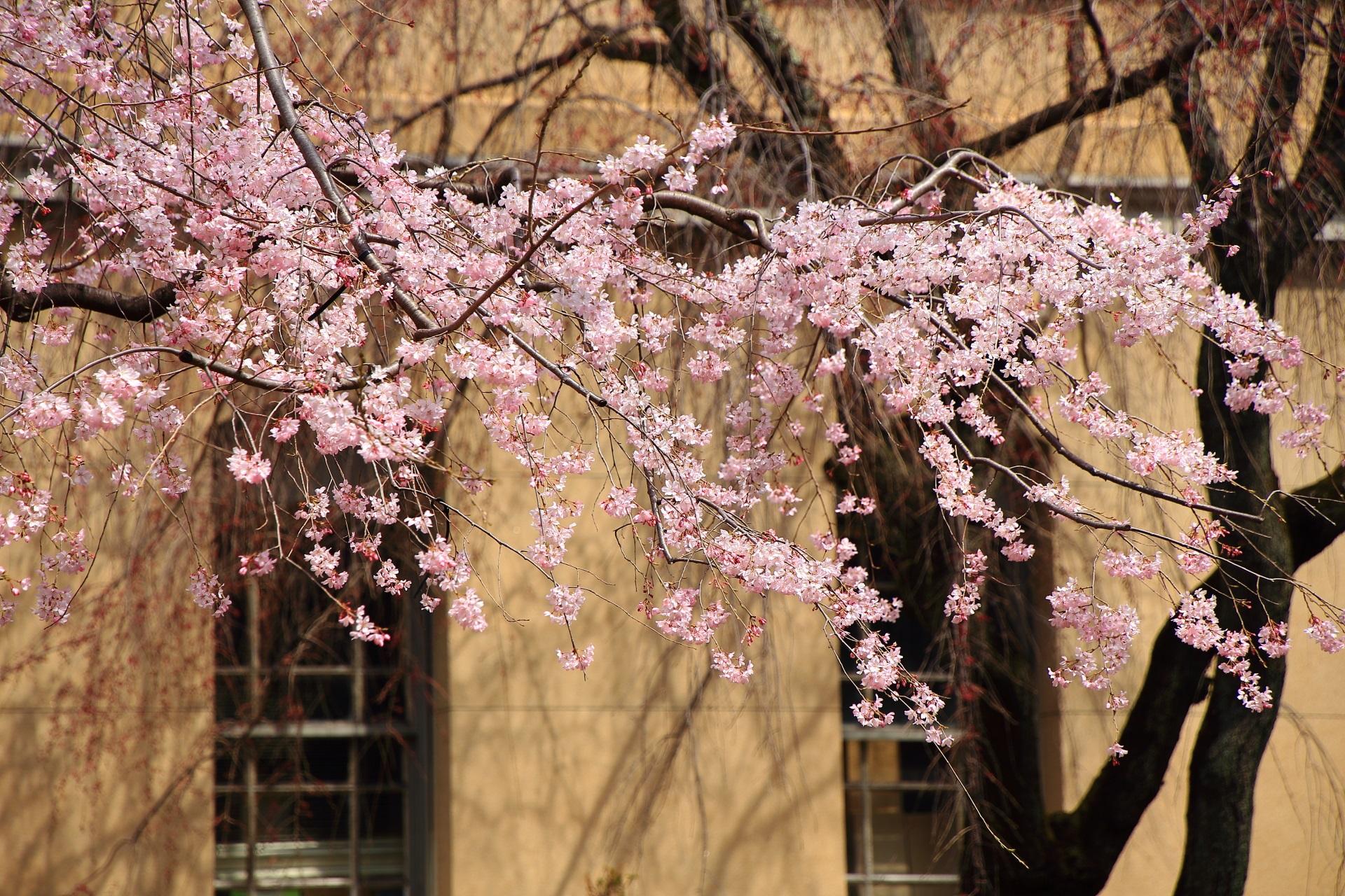 多少光は差す何となく欧州風の桜