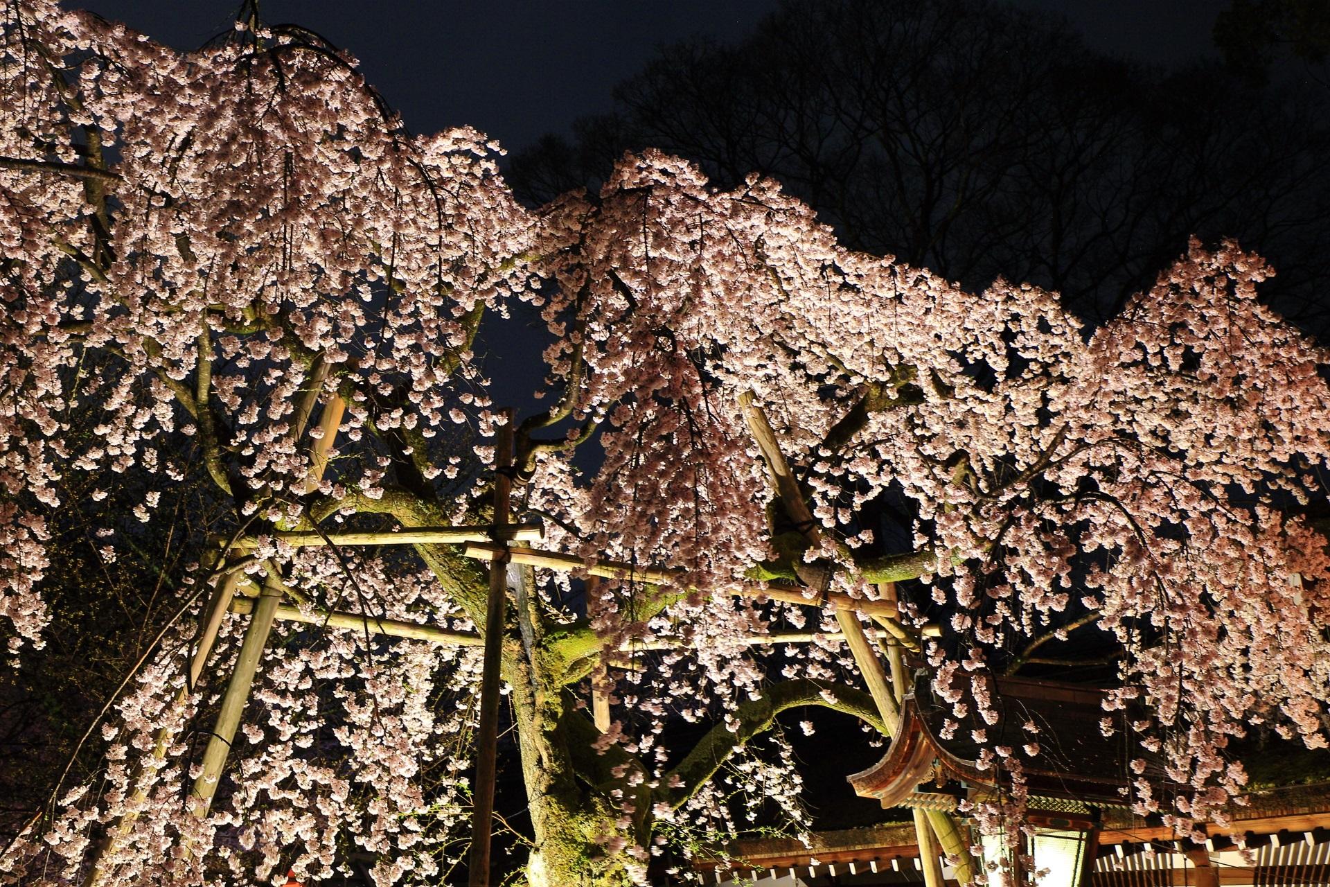 平野神社の華やかな桜のライトアップ
