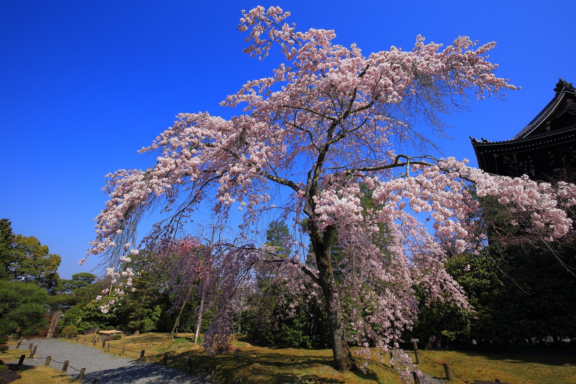 知恩院の有名な三門を背景にした友禅苑の桜