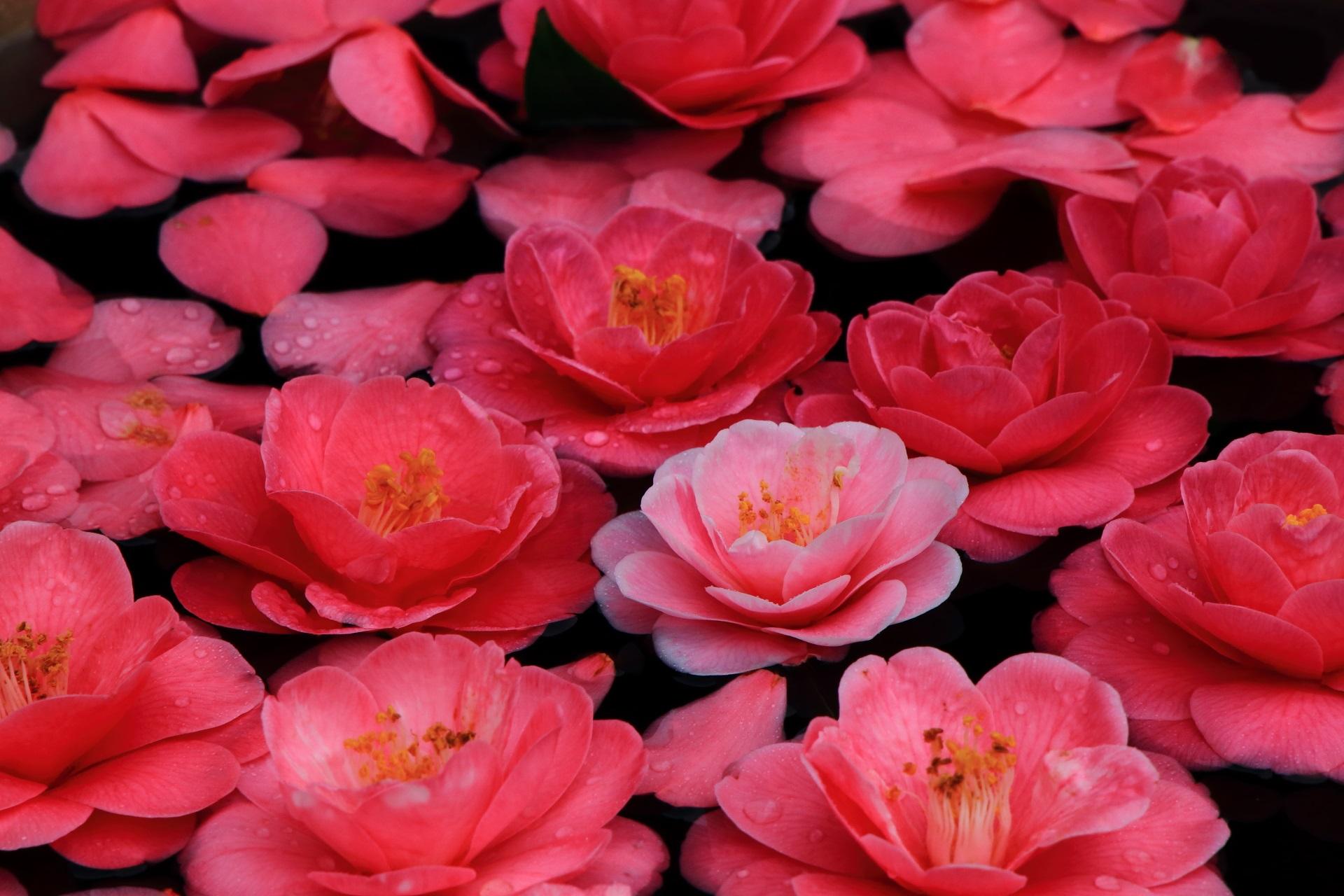 どの花も微妙に色合いが異なるピンク系の色の椿