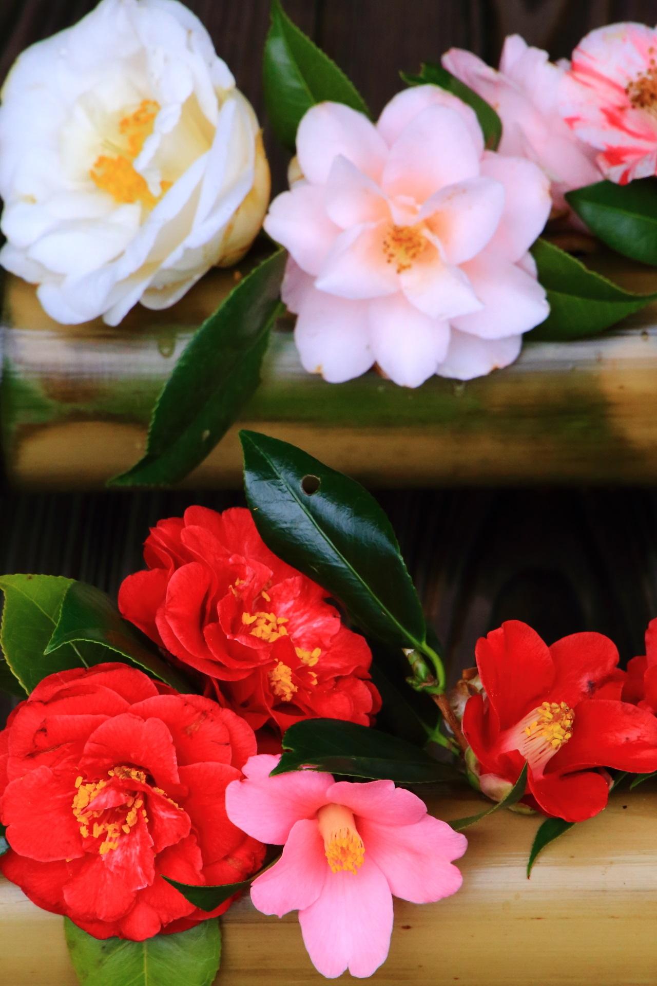 椿と一言に言っても色や花びらの形や花の造りの違う椿
