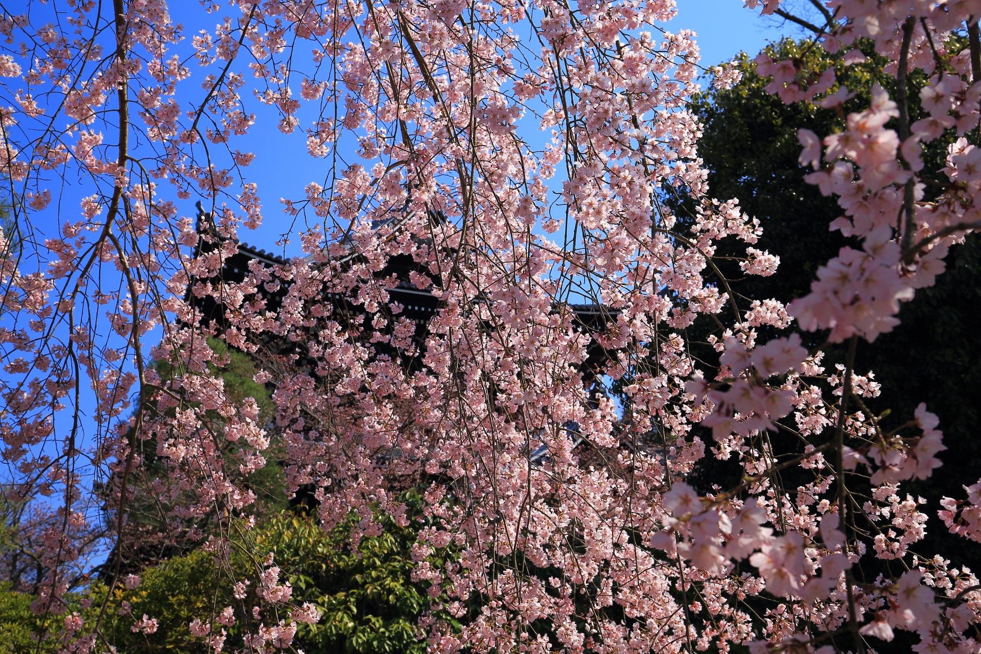 しだれ桜のピンクのカーテンに覆われる春の友禅苑