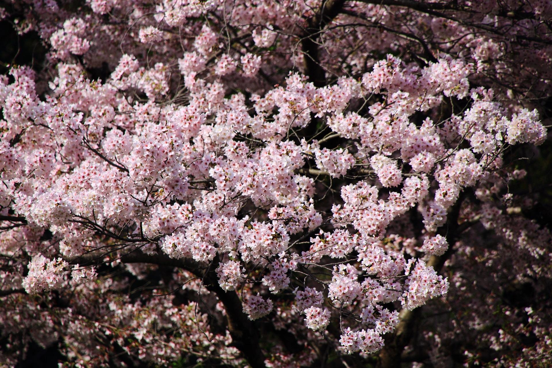 華やかに咲き誇る金堂裏の桜