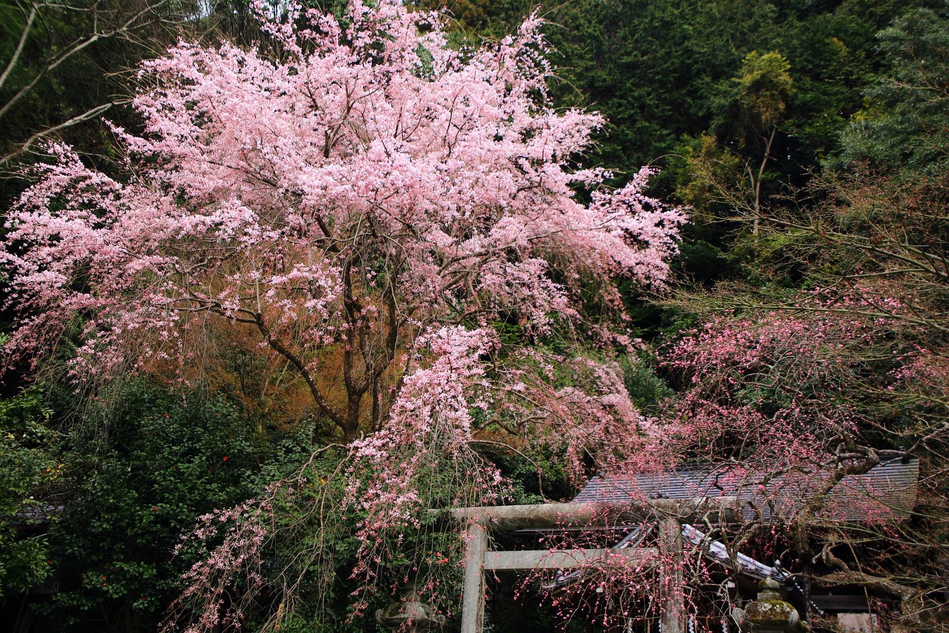 優しい色合いの咲き誇るしだれ桜
