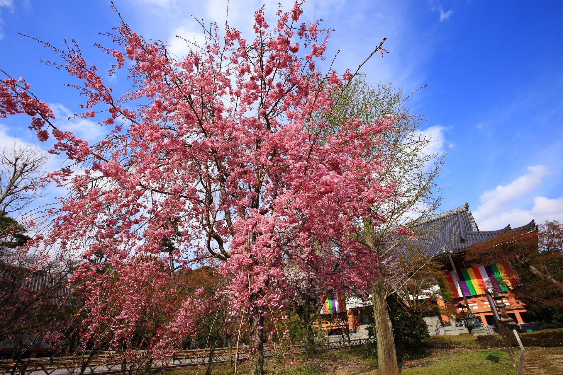 金堂前の鐘楼付近の濃いピンク色の桜