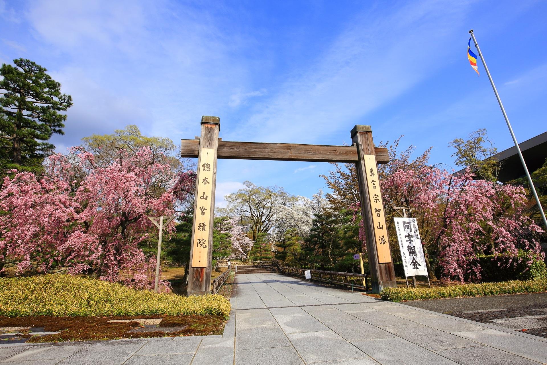 横にも奥にも桜が見える智積院の冠木門
