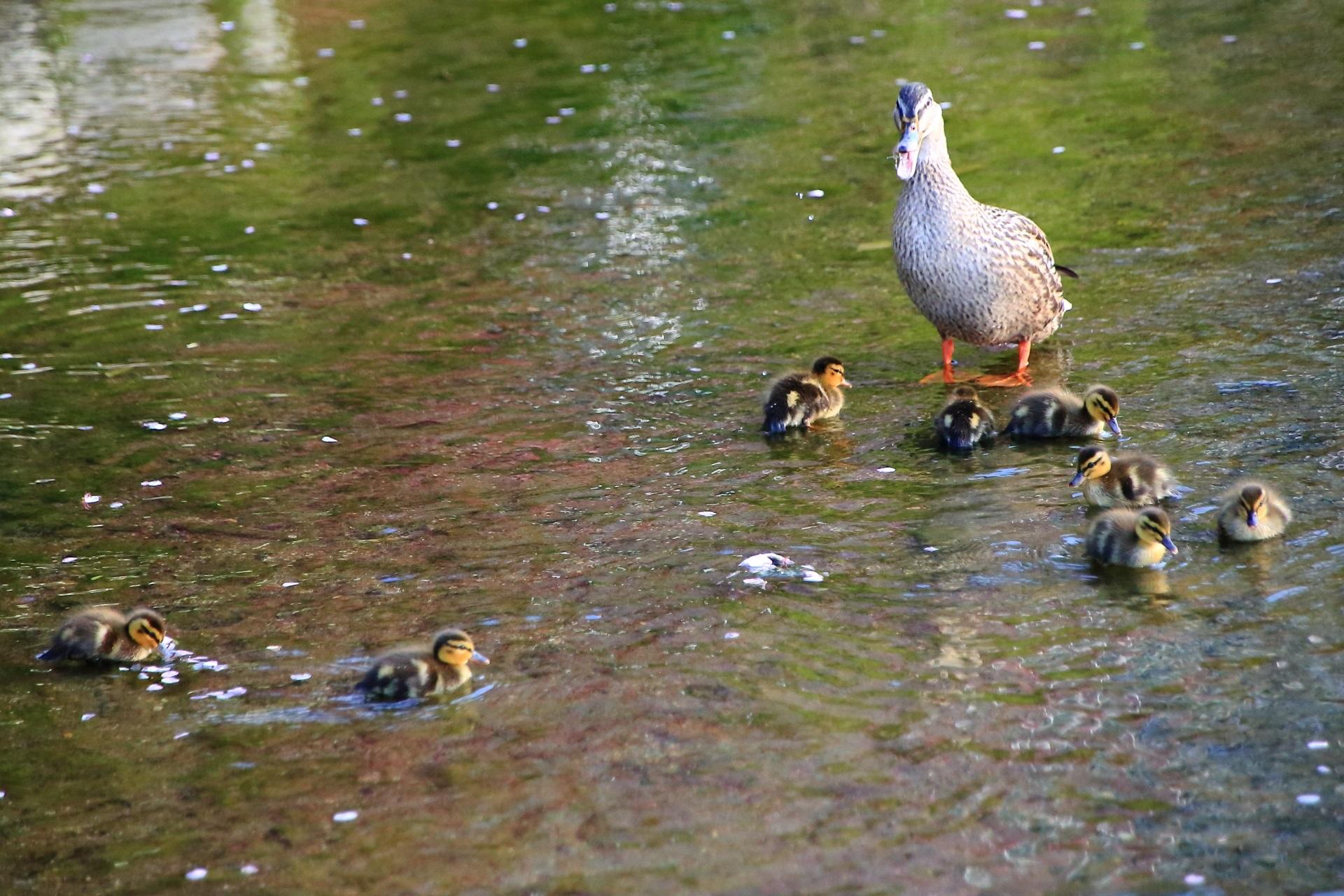 縦横無尽に進む赤ちゃん鴨