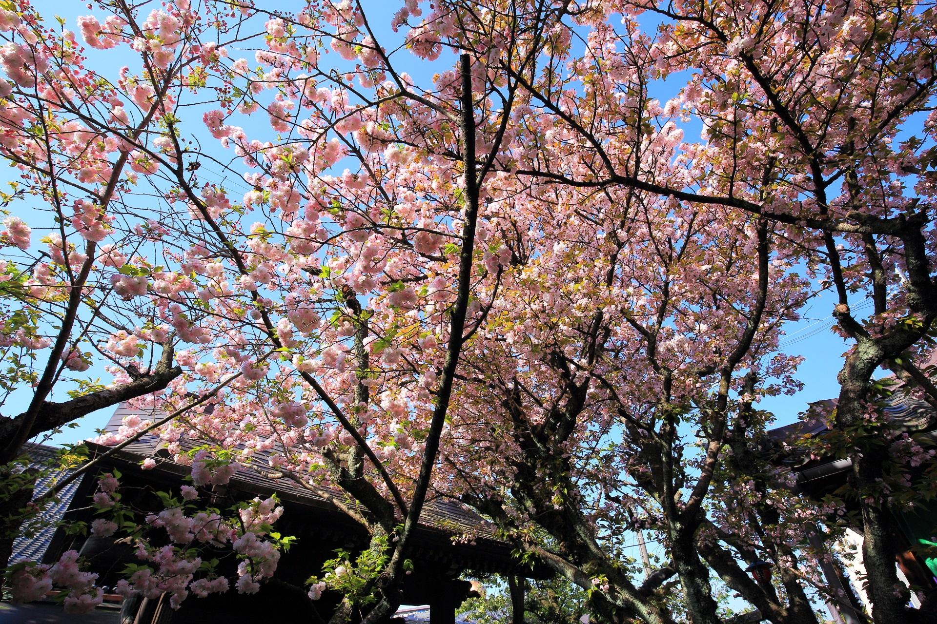 桜の種類が多いため長い期間桜が楽しめる雨宝院(うほういん)