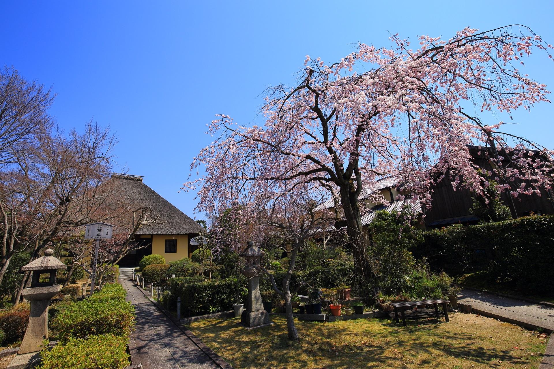 見事なしだれ桜が咲き誇る境内