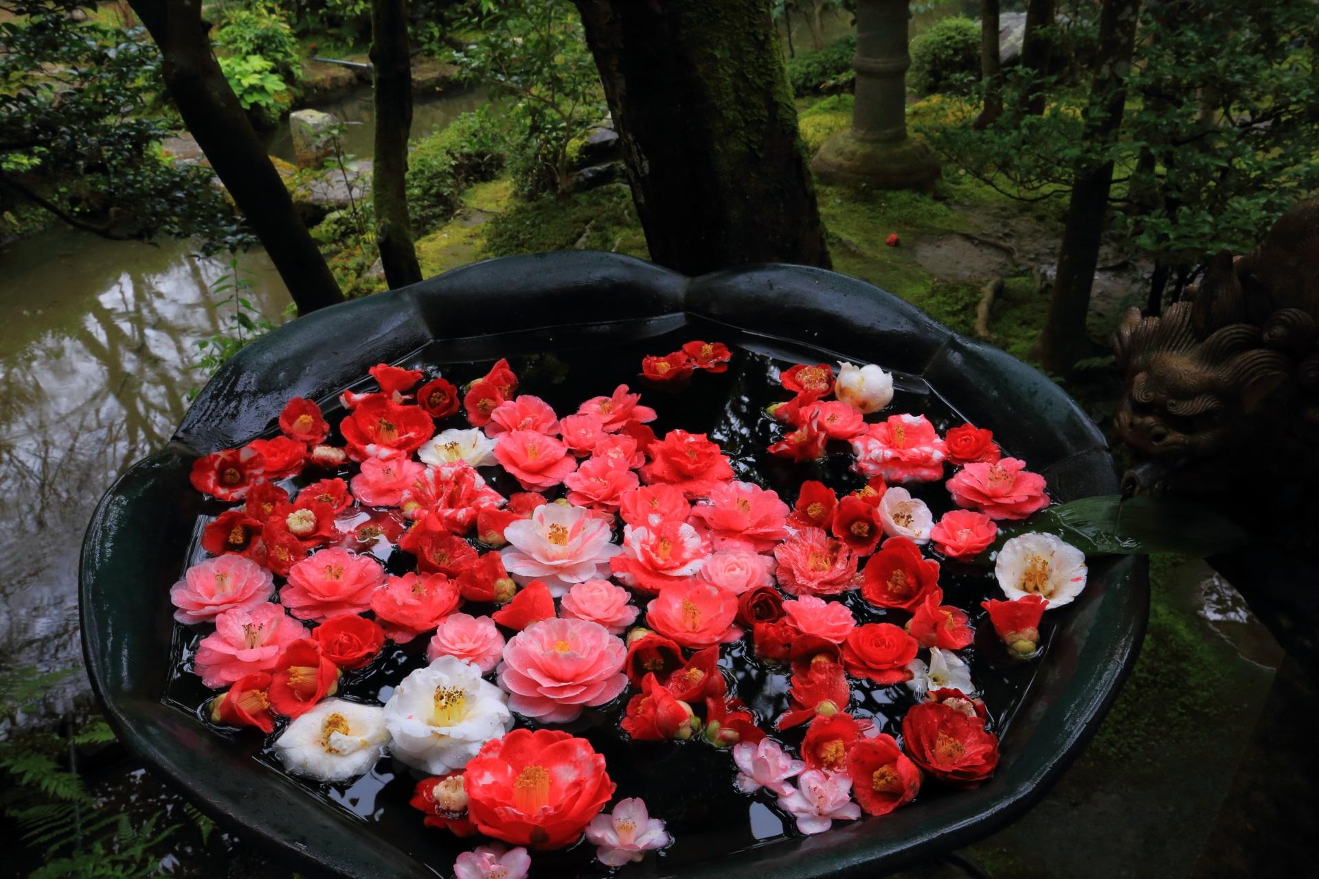 色鮮やかな椿が浮かべられた水鉢